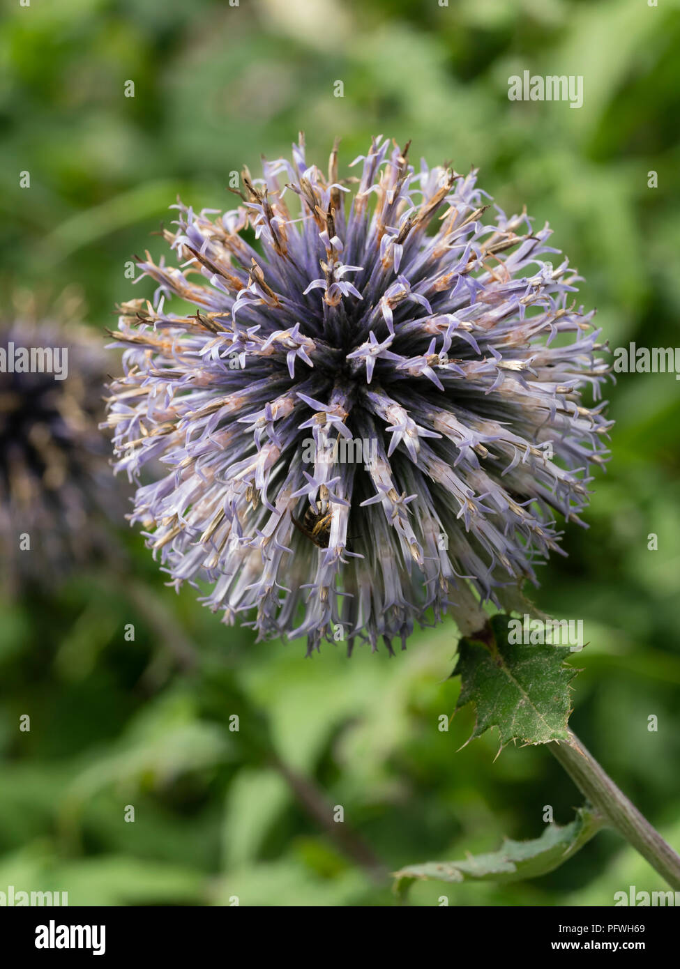 Blue summer flowers in the globular head of the hardy perennial globe thistle, Echinops ritro - Stock Image