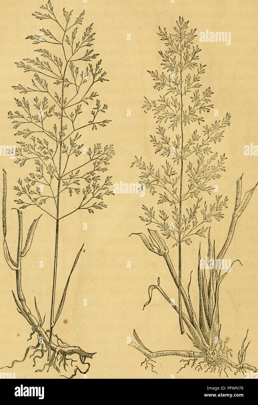 . Culture of the grasses. Grasses. CULTURE OP THE GRASSES.. Fig. 5. Rcdtop. Fig. 6. English Bent. New York and New England it is known by a great variety of names, and assumes a great variety of forms, according to the soil ill which it grows. It is well adapted to almost every soil, though it seems to prefer a moist loam. It makes a profitable crop for spending, in the form of hay, though its yield is less than that of Timothy. It is well suited to our permanent pastures, where it should be fed. Please note that these images are extracted from scanned page images that may have been digitally  Stock Photo