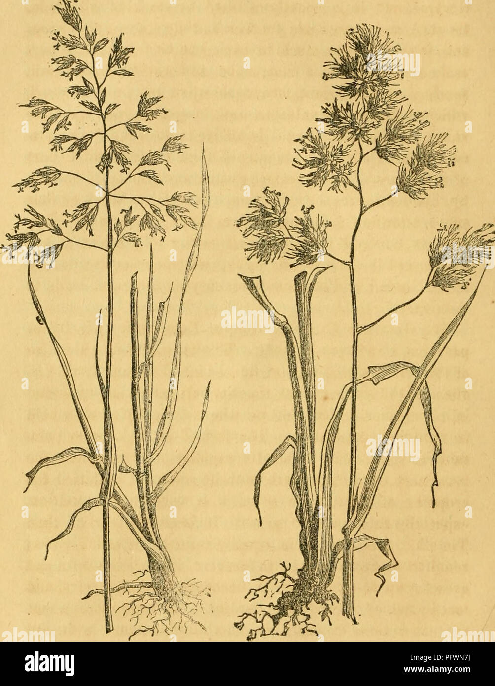 . Culture of the grasses. Grasses. CULTURE OP THE GRASSES.. Fig. 1. June Grass. Fig. 2. Orchard Grass. tiiree or four quarts of seed being used to the acre. Ifi spring the seeds germinate, when the sprouts are exceedingly fine and delicate. Stock is not allowed on it the first year. The Meadow Foxtail is also an excellent pasture grass. It somewhat resembles Timothy, but is earlier, has a softer spike, and thrives on all soils except the dryest. Its growth. Please note that these images are extracted from scanned page images that may have been digitally enhanced for readability - coloration an Stock Photo