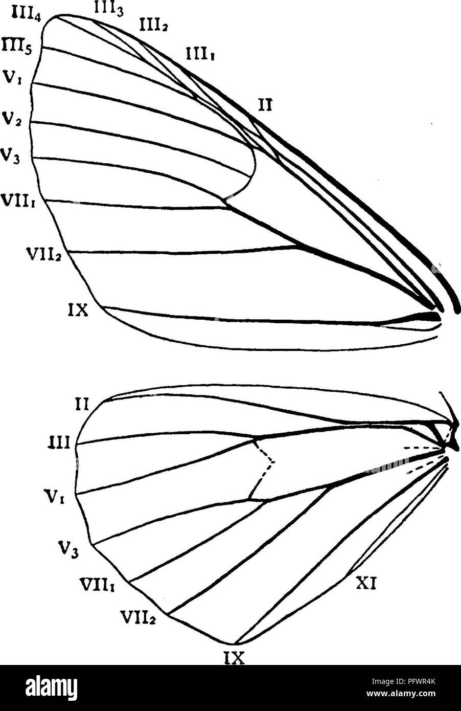 . A manual for the study of insects. Insects. LEPIDOPTERA. 271 these worms from the sharp-eyed birds. If so, we should have been still more interested in them; and we should have been even more so could some one have told us of the transformation of these loopers first into pupae and then into beautiful moths. But in those days comparatively few people thought it worth while to study insects. The larvae of Geometrids have as a rule only the last two pairs of prolegs well developed ; and hence, as the middle part of the body is not supported, they are unable to walk in the way that other caterp Stock Photo