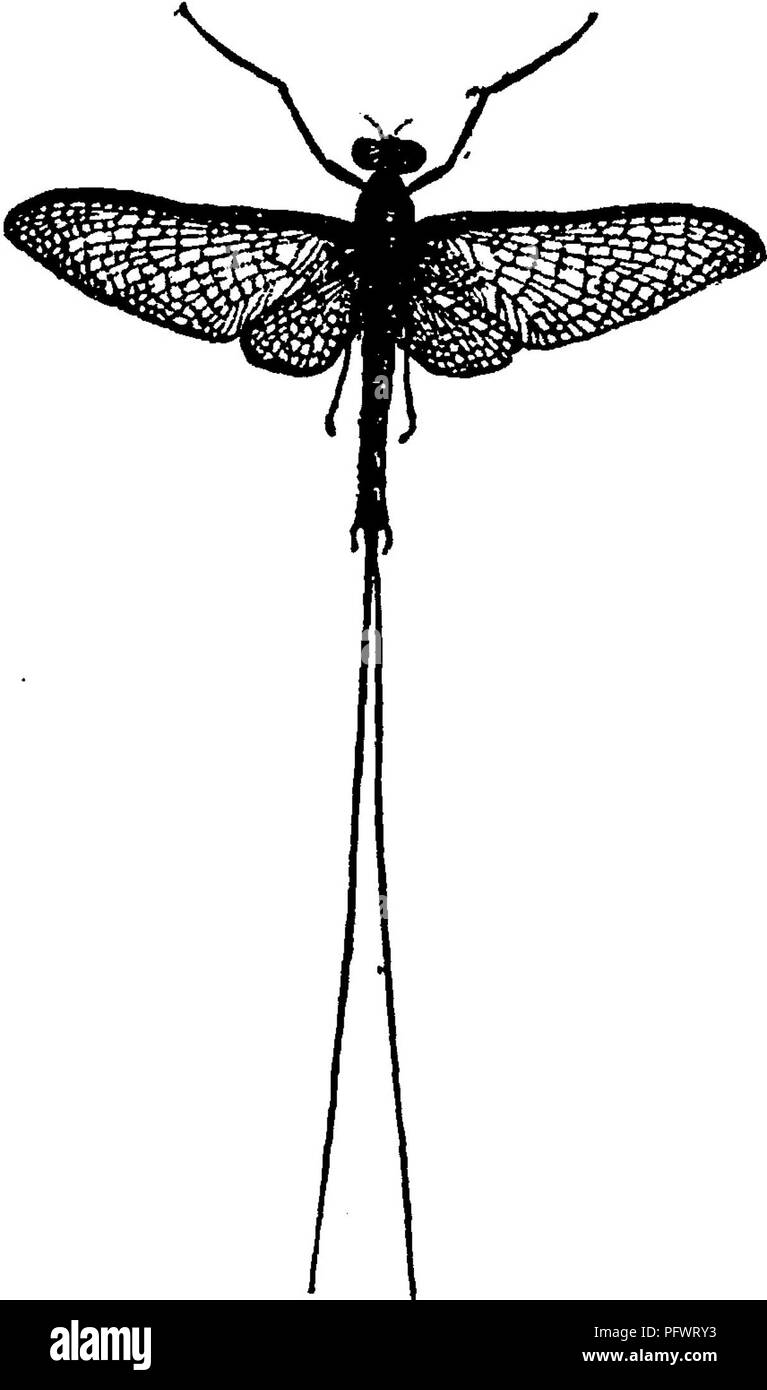 . A manual for the study of insects. Insects. CHAPTER V. Order EPHEMERIDA (Eph-e-mer'i-da). The May-flies. The members of this order have delicate membranous wings^ with a fine network of veins; the fore wings are large,.and the hind wings are much smaller or wa7tting. The mouth- parts are rudimentary. The metamorphosis is incomplete. The name of this order is from the Greek word ephemeros, lasting but a day. It was given to these in- sects on account of the shortness of their lives after reaching the adult state.* The May-flies are easily dis- tinguished from other net-winged in- sects by the - Stock Image