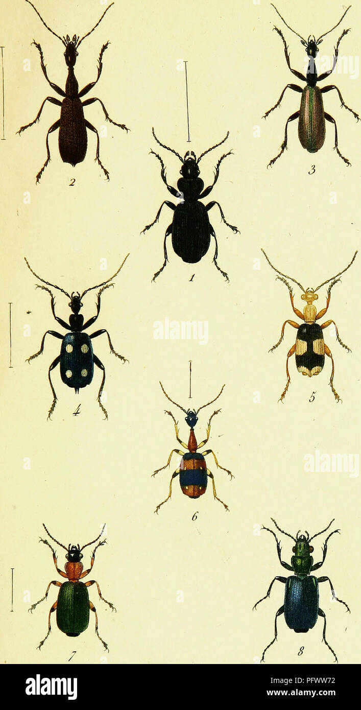 . Historie naturelle et iconographie des insectes coleÌopteÌres d'Europe. Beetles. v. tir cLDlC 1. Gène ra exo lie a . Ta/>. m.. P -Dumewù Puwûù. 1 Udlao llirhis. 2 Aora Brentoiies . 3 Parvula i (ordlstes Acuminahis 5 Cordistes Maeûatis. 6 Casnonia CyanocepKala â 7 Callolda Décora. 8 Calascopm Hardwickii .. Please note that these images are extracted from scanned page images that may have been digitally enhanced for readability - coloration and appearance of these illustrations may not perfectly resemble the original work.. Latreille, P. A. (Pierre AndreÌ), 1762-1833; Dejean, Pierre - Stock Image