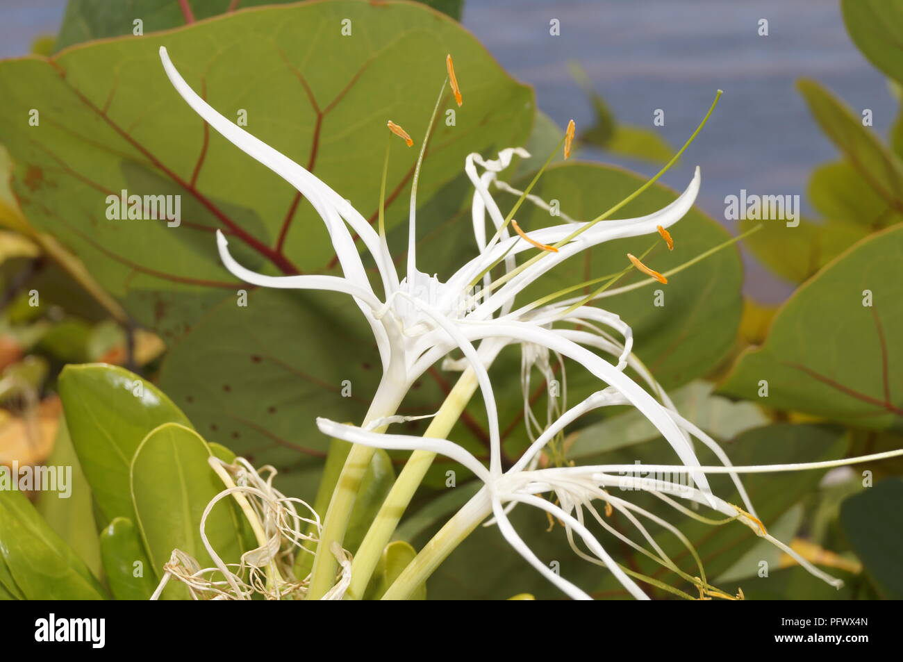 Wild flower from the coast of Dominican Republic Stock Photo