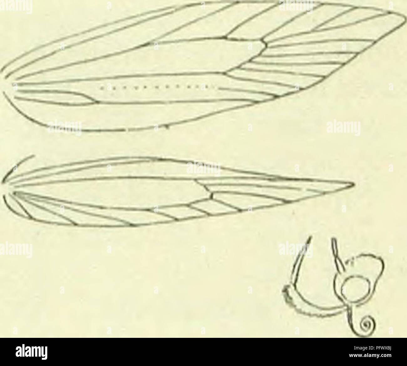 ". A handbook of British lepidoptera. Lepidoptera. MOMl'HAl KLAC11I.ST1DAK 079 4. 3. raschkiella. 5. G. 9. fulvescens. 10. nchraceella. I'J. Stephensi. 7. 1. Head metallic! "" not metallic 2. Stigmata distinct, silver-metallic , L. termmella. "" not distinct .... 3. 3. Korewings with metallic dorsal mark before tonms 2. schrankella. "" without such mark 4. Forewings ochreous or yellow "" not OchreOUS or yellow 5. Hindwings dark grey "" whitish-yellowish G. Forewings white . ,, dark fuscous or grey . 7. Head whitish-oehreous or ochreous-white . ,, grey or dark fuscous on crown . 9. 8. Thorax and basa - Stock Image"