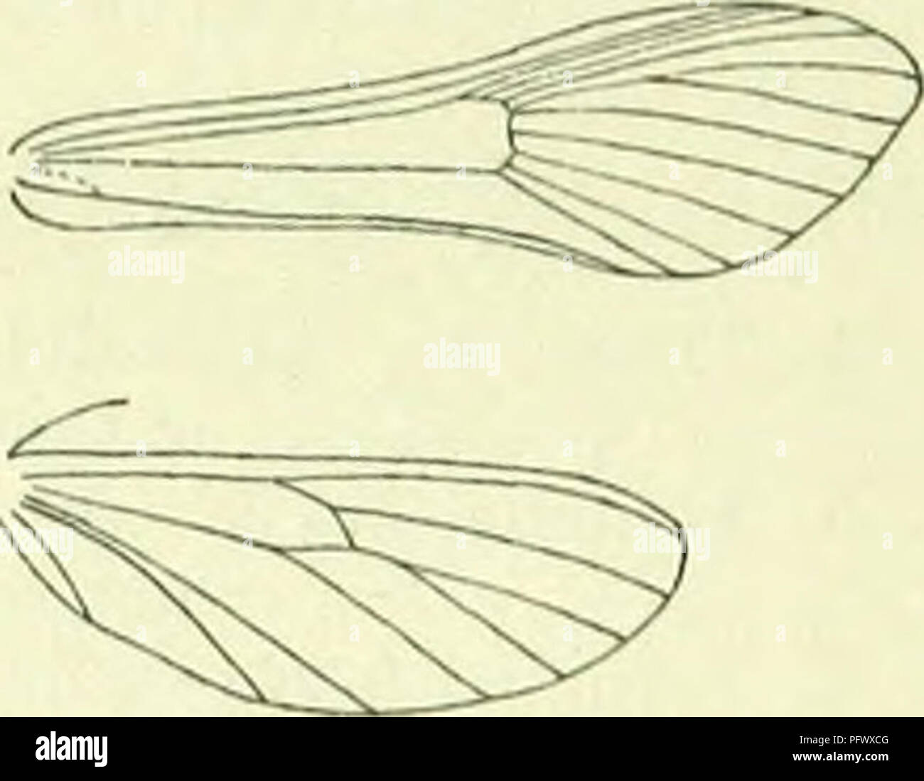 """. A handbook of British lepidoptera. Lepidoptera. AEGEBIADAE 563 2. Tongue rudimentary ; 7 of forewings to termeu 1. Aegbria. """" developed ; 7 of forewings to apex 2. Trochilium. 1. Aegbria, F. Head shortly rough-haired above. Tongue rudimentary. Antennae i, in <J lamellate. Labial palpi with second joint rough-scaled beneath, terminal loosely scaled. Abdomen stout. Forewings : 7 to termen. Hindwings : 3 and 4 stalked. A small genus, characteristic of the European region. The imagos arc seldom observed, though the larvae are common. Collar yellow ... 2. crabroniformis. ,, dark fuscous . . .1 - Stock Image"""