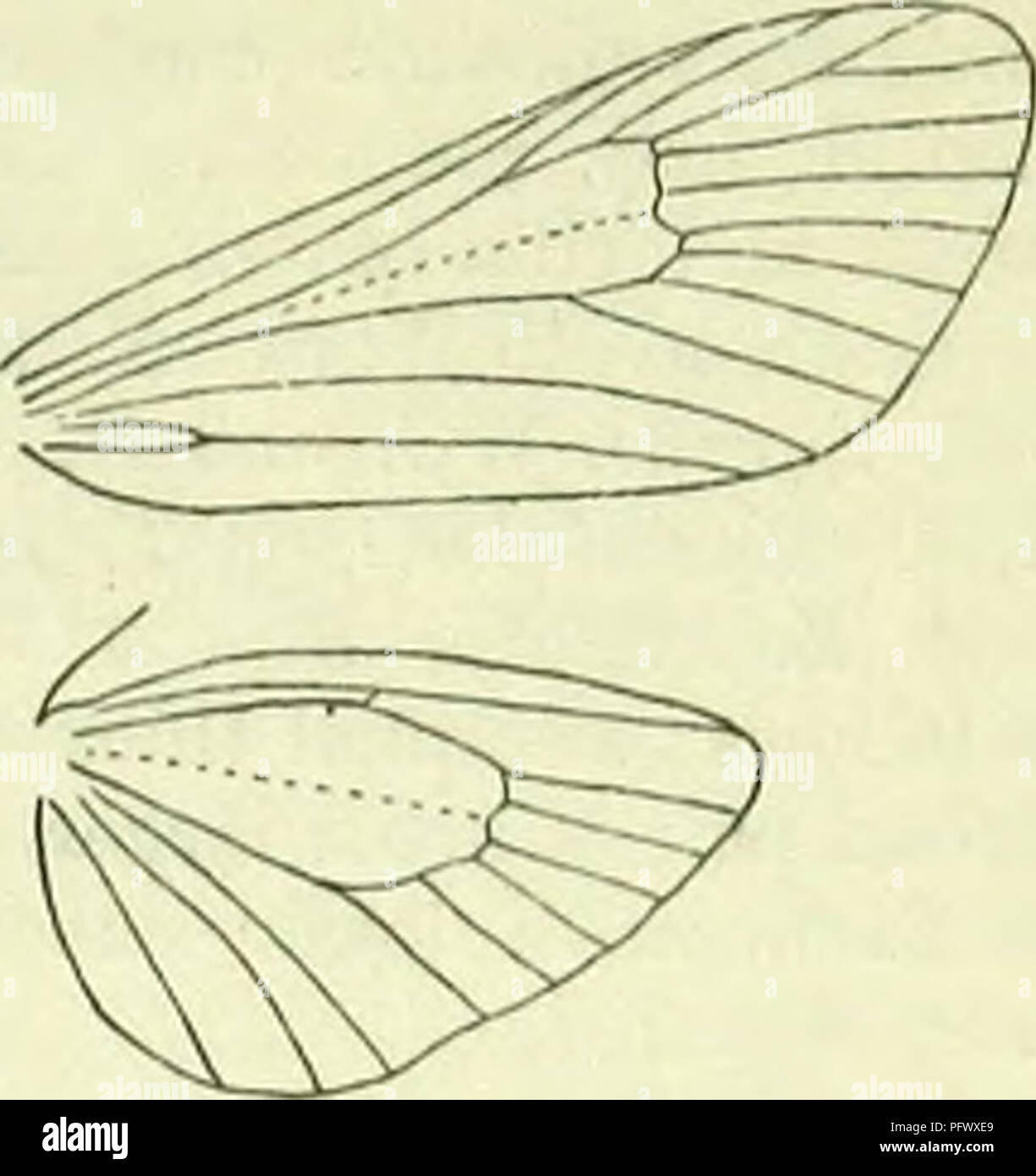 . A handbook of British lepidoptera. Lepidoptera. ZY!5AENA] ZYGAEN1DAE 447. Neuration of Zyguena trlfolii. thickened from base to about f or , thence tapering to apex, simple. Thorax densely hairy beneath. Abdomen hairy. Femora more or less hairy beneath, tibiae smooth - scaled, all spurs present, short. Forewings : 8 and 9 stalked. Hindwings: 6 and 7 sometimes connate, upper margin of cell angulated at connection. The genus is extensive, but con- fined to Europe, N. and C. Asia, Japan, and N. Africa, its range coinciding exactly with the limits of the Palaearctic region. Imago with forewings - Stock Image