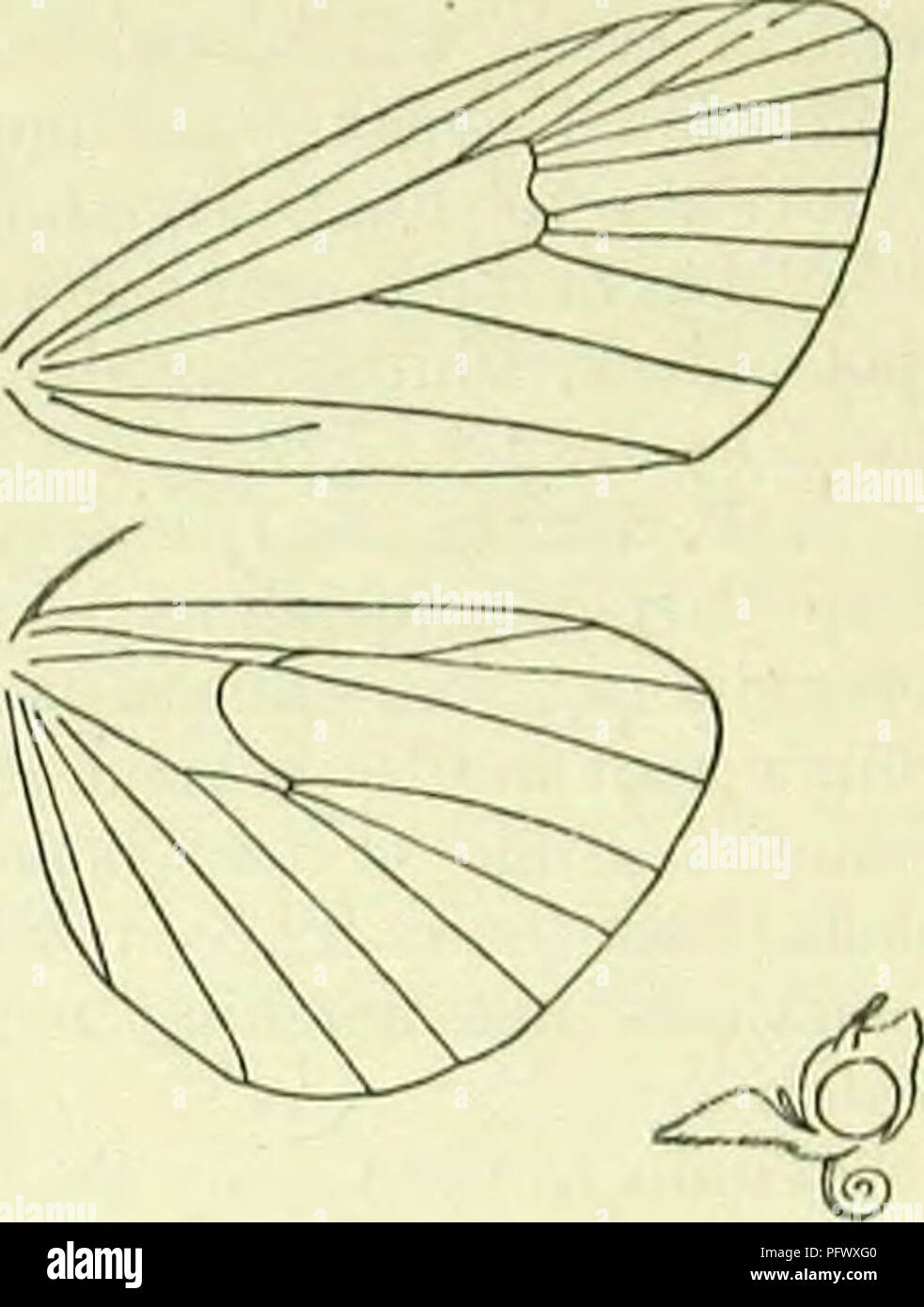 . A handbook of British lepidoptera. Lepidoptera. pybausta] PYRAUSTIDAE 413. Neuration and head of Pyrausta purpuralU. whitish-green; dots green; head whitish-brown : in a slight web beneath lower leaves of Solidago ; 8, 9. 2. P. cingulata, L. 13-16 mm. Forewings blackish; a narrow very slightly sinuate white fascia beyond middle ; tips of cilia white. Hindwings as forewings, but fascia slightly curved. Britain to Perth, W. Ireland, rather local; Europe, Asia Minor; 5, 7, 8. Larva in a web beneath lower leaves of Salvia pratensis ; 6, 9. 3. P. nigrata, Sc. (anguinalis, Hb.) 13-16 mm. Forewings - Stock Image