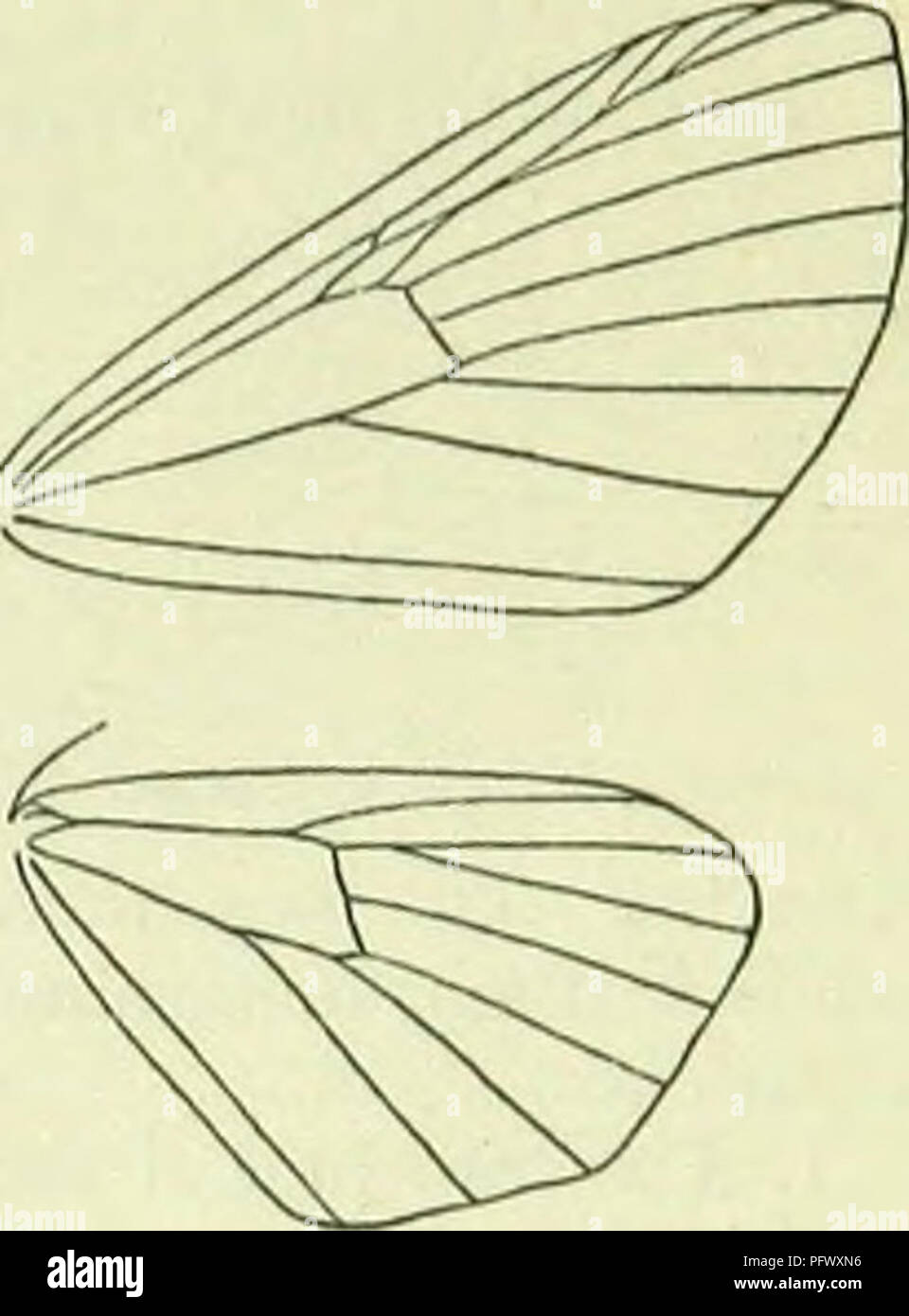 . A handbook of British lepidoptera. Lepidoptera. CHLOROOLYSTIS] HYDRIOMENIDAE. Noumtion of Chloroel'/stis redangulata. curved, posterior twice angulated, lower angle more prominent; a black discal mark. Hindwings as forewings. Britain to Ross, Ireland, common ; N. and C. Europe; 6, 7. Larva rather stout, pale yellowish- green ; dorsal line sometimes darker green or dull red ; spiracular darker; incisions reddish : on flowers of apple and pear; 4, 5. Sometimes injurious in orchards. 3. 0. debiliata, lib. 17-21 mm. Abdomen with broad blackish sub- basal ring. Forewings very pale green or green- - Stock Image
