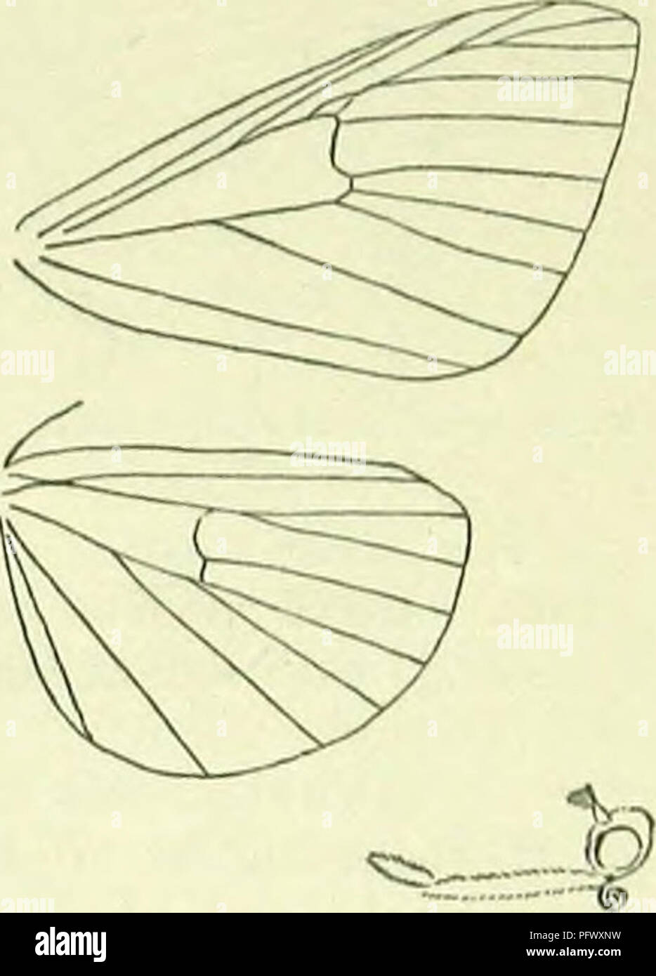 . A handbook of British lepidoptera. Lepidoptera. HERMINIA] l'LUSIADAE black discal dot. Hindwings fuscous-whitish, terminally browiiish-tiuged ; a grey discal dot. S. England to Somerset and Lincoln, in marshy places, local; G. Europe, N. Asia; 7. Larva pale grey-brown, yellowish-freckled ; dorsal line darker, pale-edged; subdorsal and spiracular paler: on Salix, Carex, Luzula, etc.; 9-5. 2. H. barbalis, CI. 27-31 mm. Antennal pectinations of cj very short, terminating in long- bristles. Forewings pale greyish-ochreous irrorated with dark brown; first and second lines cloudy dark yellowish- b - Stock Image