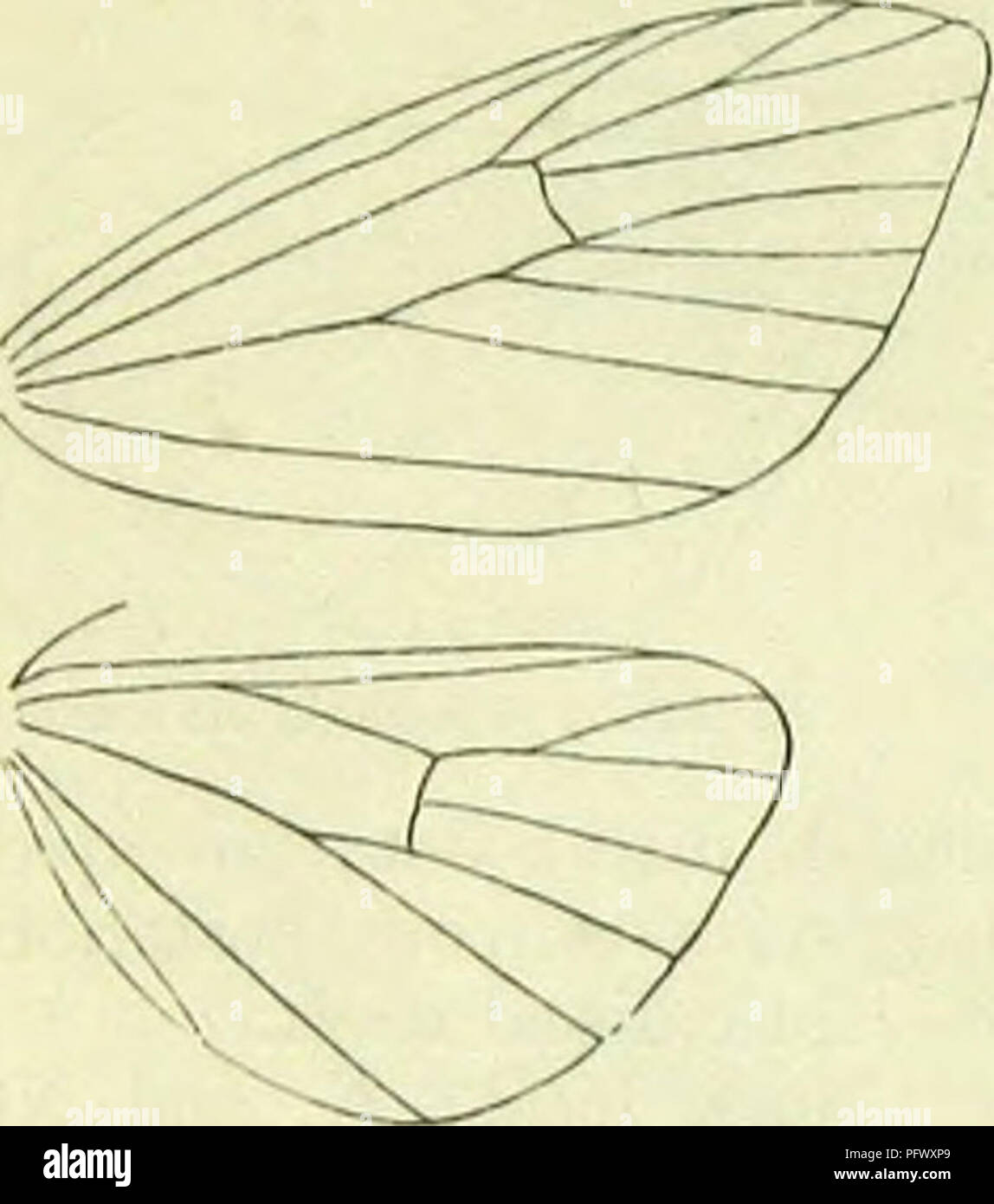 . A handbook of British lepidoptera. Lepidoptera. CARADRININA [nvtuiua. greyish subterminal line, connected with tcrmen in middle. Hindwings transparent, faintly ochreous-tinged, Britain to the Clyde, Kincardine, N. and W. Ireland, rather common; N. and C. Europe, Asia Minor; 7-8. Larva pale grey-brown, dorsal area bright pale yellow, hairs rather dark grey-brown; dorsal line dark fuscous; subdorsal blackish-brown ; a blackish dorsal spot on 8 ; head dark brown : on lichens ; 9-5. 8. Roeselia, Hb. Head with appressed scales, forming a short facial projection. Ocelli present. Antennae in J cili - Stock Image
