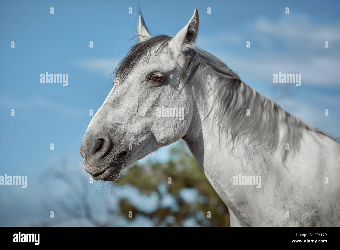 Grey Horse High Resolution Stock Photography And Images Alamy