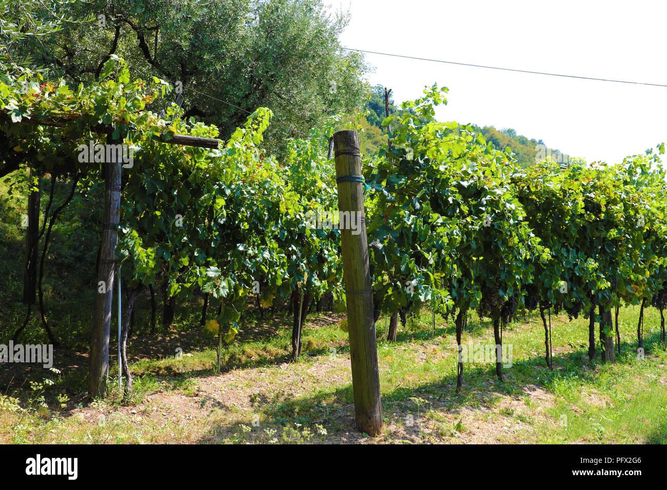 Vineyard at Monte Isola, Lake Iseo, Italy - Stock Image