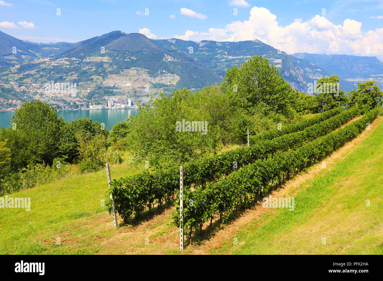 Vineyard on sunny day on lake, Monte Isola, Lombardy, Italy - Stock Image