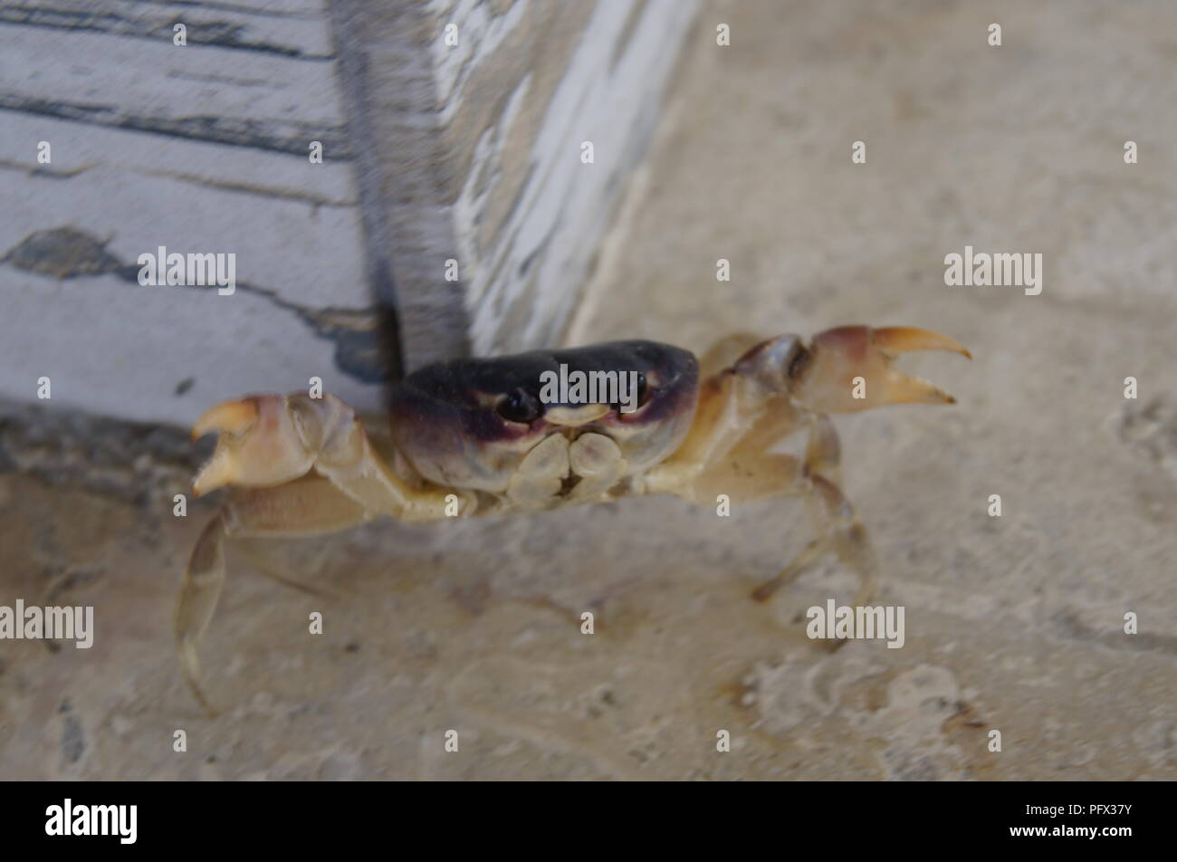 Small land crab escaping from the photographer Stock Photo