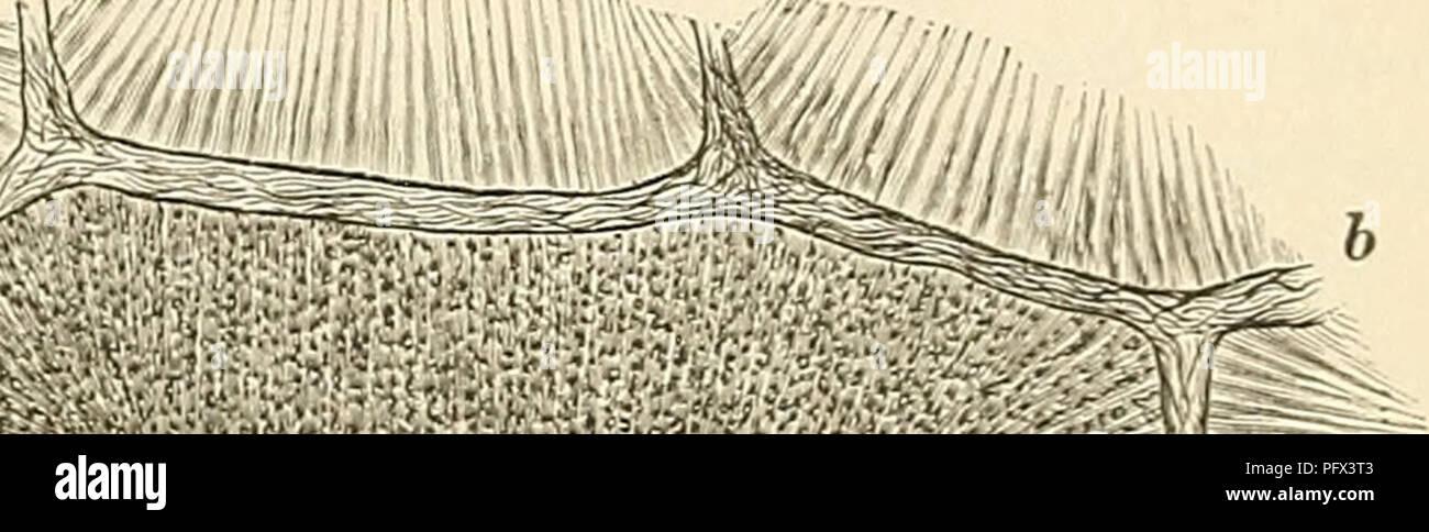""". Cursus der normalen Histologie zur Einführing in den Gebrauch des Mikroskopes, sowie in das practische Studium der Gewebelehre. Histology; Microscopy. Lp. Fig. 72. Se h wei iie leber, ein Acinus im Querschnill; einer im nicht ganz reinen Längsschnitt die anstüssenden nur ai gedeutet; v. h. Vena hepatica, v. p. Vena portae, a. Arteria hepatica, b. das Bindegewebe zwischen den Aeiuis. -""""/,. darstellt. Durch Combination beider erhält man eine Vorstellung von der vollständigen Gestalt des Läppchens, welches ein mehr- seitiges, an einem Ende kuppenförmig gestaltetes Prisma bildet, von welche - Stock Image"""