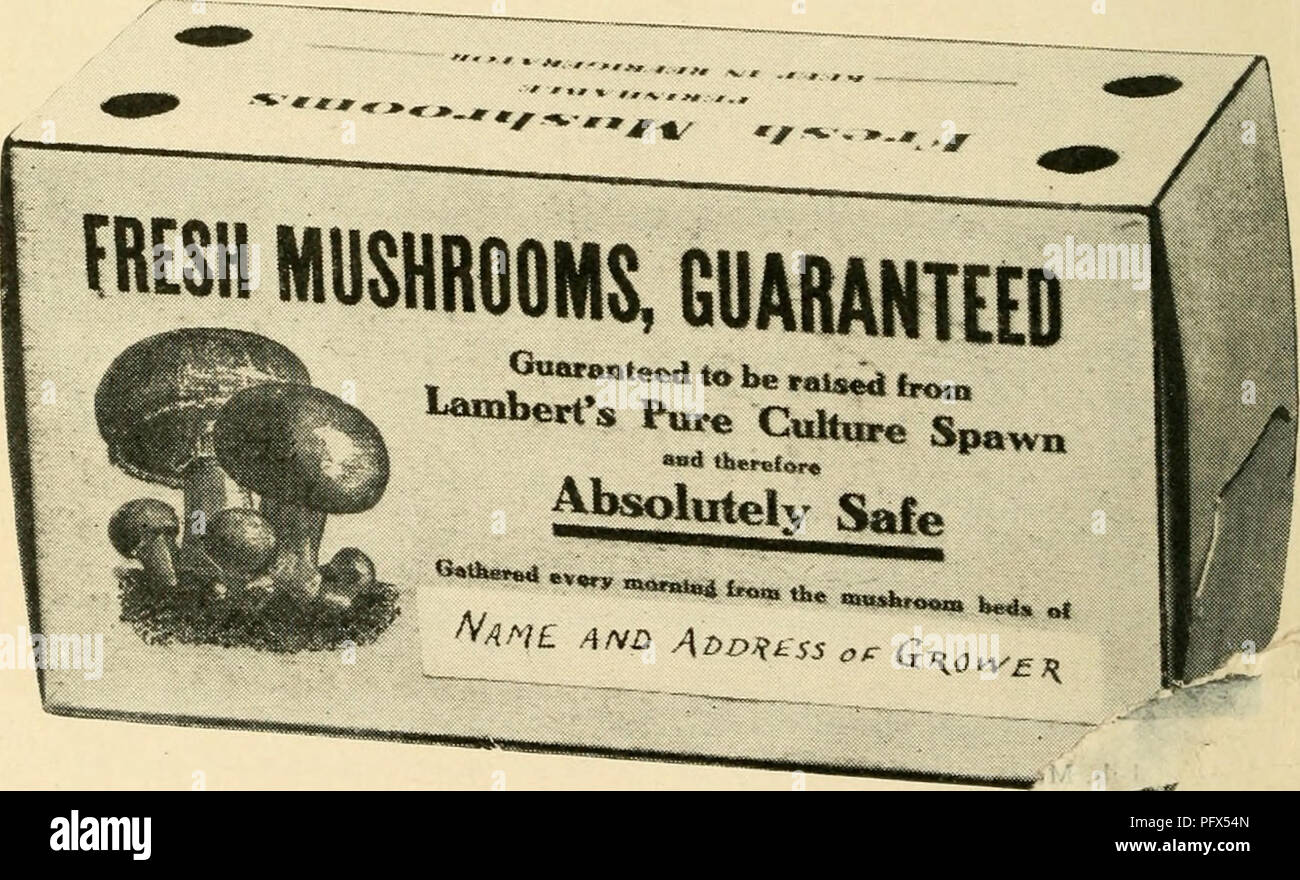 . The cultivated mushroom ... Mushroom culture. [from old catalog]. 98 SPAWN AND SUPPLIES MUSHROOM BOXES (CARTONS) The time has passed when the mushroom grower could ship his mushrooms in any old package, cover it with a newspaper, tie it up with a string, and let it go at that. The public is now morp exacting and discriminating. An attractive package wili sel^ readily at a good price, while the unattractive basket Win gj ueg- ging and must be sold at a sacrifice. The fresh mushroom is a very perishable article and will not stand rehandling or repacking without injury and serious loss in grade - Stock Image