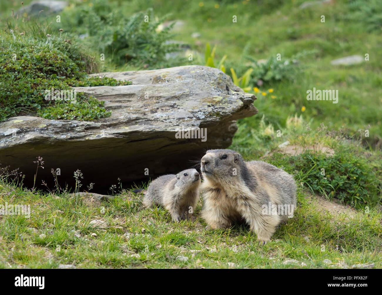Marmot mom with baby Stock Photo