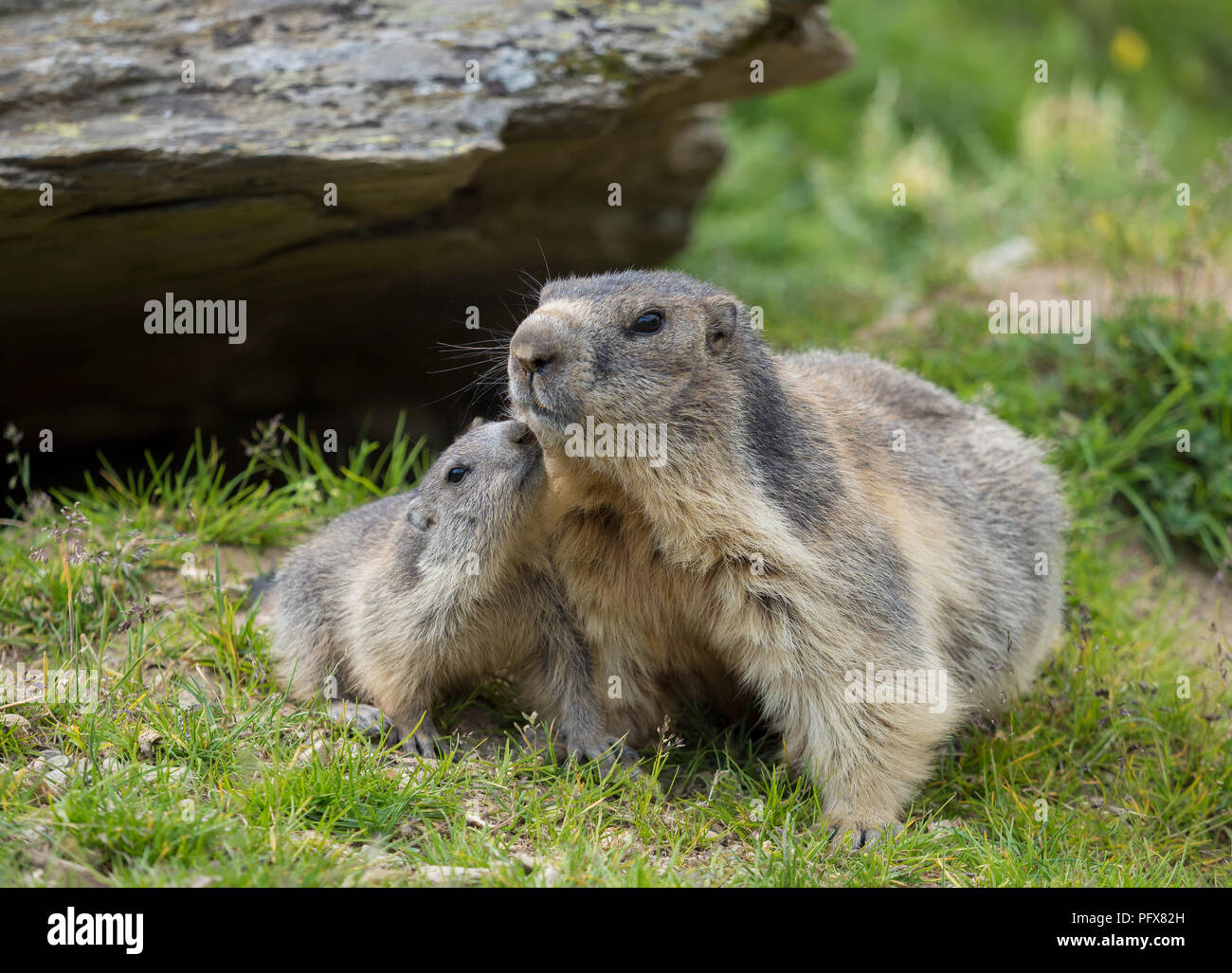 Marmot mom with baby Stock Photo