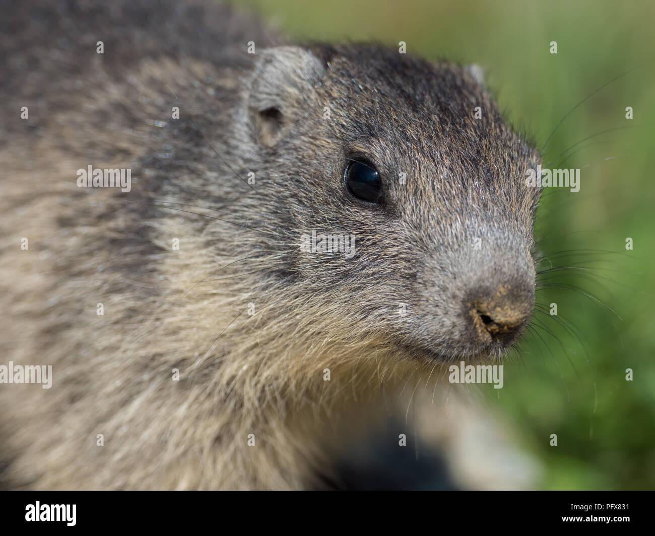 Baby Marmots Stock Photo