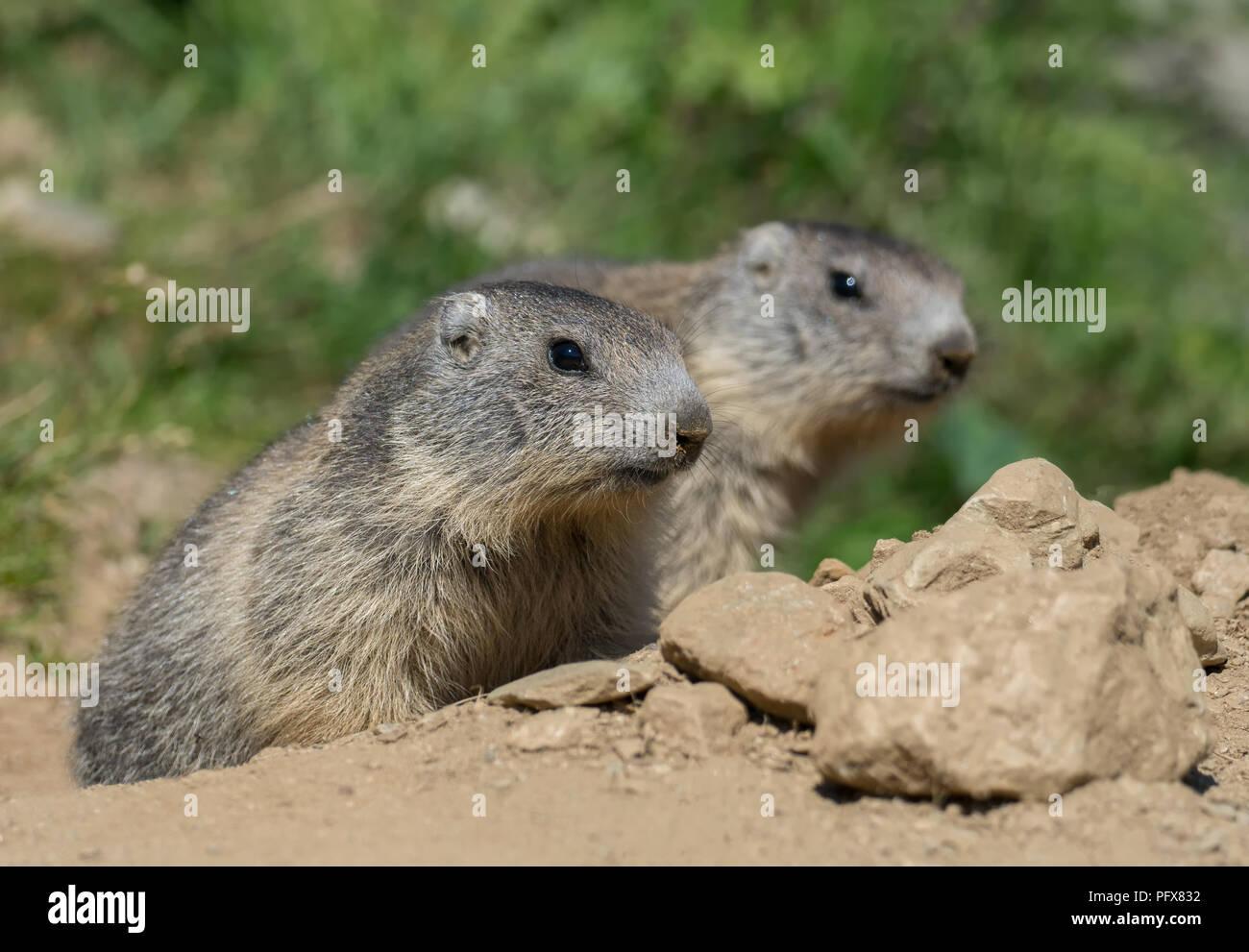 Baby Marmots - Stock Image