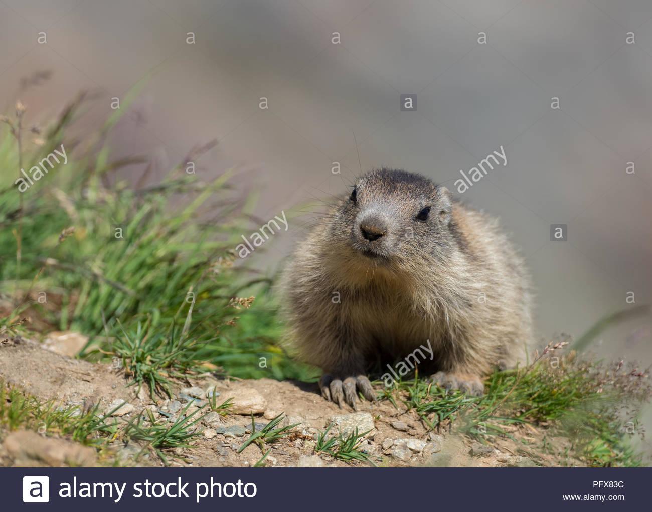 Baby Marmot Stock Photo
