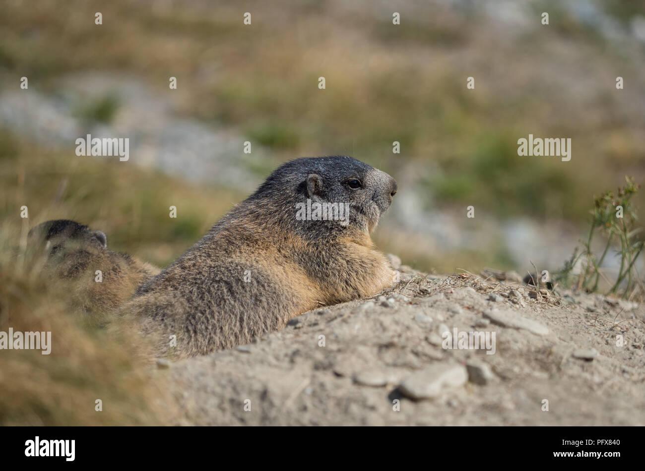 Marmot in Saas-Fee Stock Photo