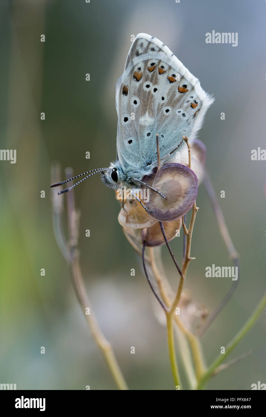 Arctic blue butterfly (Agriades glandon) Stock Photo
