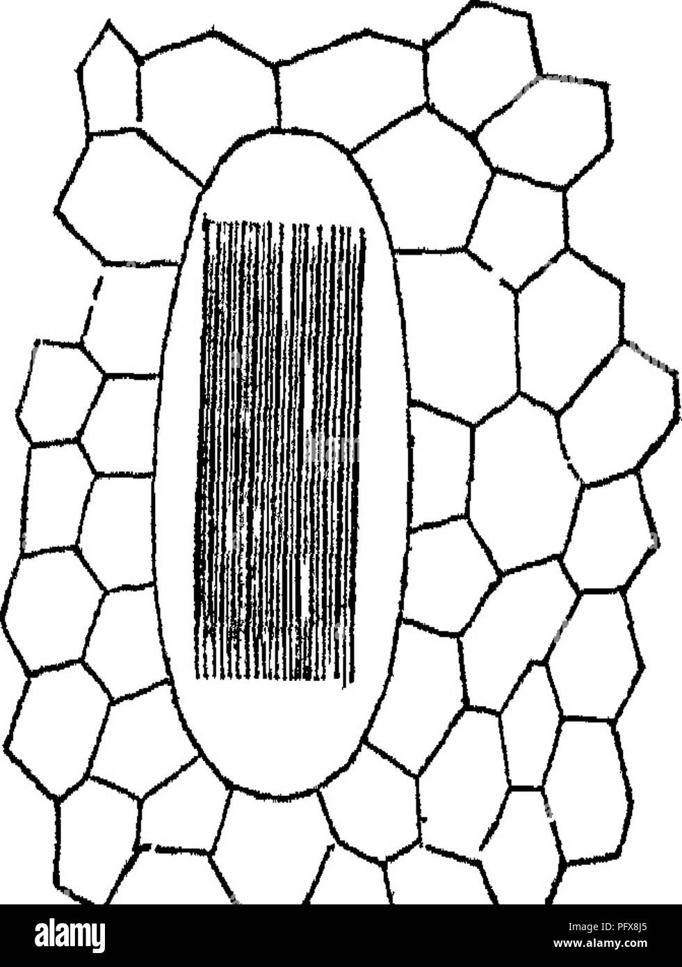 ". Principles of the anatomy and physiology of the vegetable cell. Plant cells and tissues. THE VEGETABLE CELL. 49 Crystals occur sometimes singly in a cell, or in numbers ii-regu- larly scattered, combined into star-shaped groups, or laid side by side in the form of ^w ^T. a bundle. The last condition (fig. 47) is the most frequent, for there can scarcely exist a plant in which have not been found in some organs, for instance the anther, or in the bark, such bundles of very fine, needle-like four-sided crystals, terminating at each end in four-sided py- ramids (De Oandolle's "" Raphides'') - Stock Image"