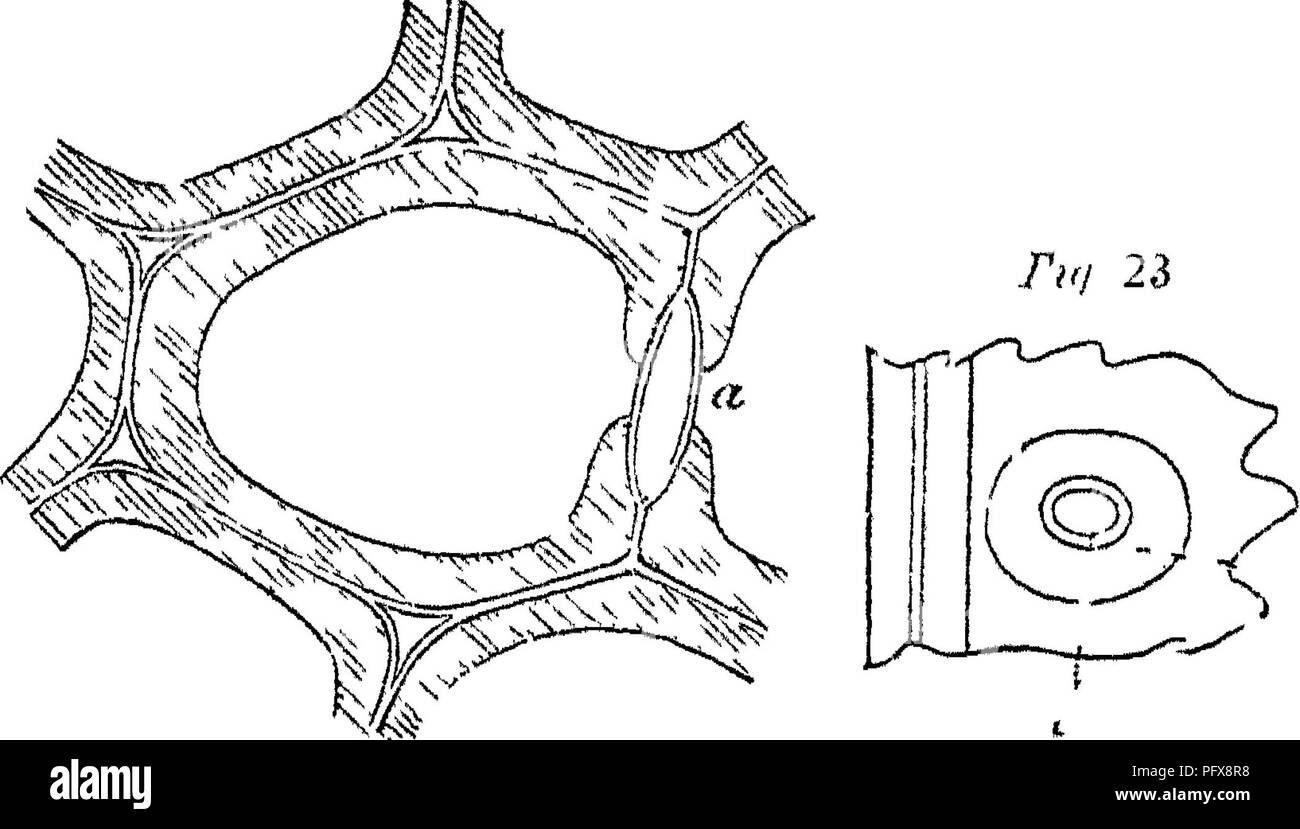 . Principles of the anatomy and physiology of the vegetable cell. Plant cells and tissues. THE VEGETABLE CELL. 17 rated from each other, in the canals of the pits, by the primaiy walls, which form a very thin partition (figs. 11, 14, 15). This dependence of the structure of one cell upon that of its neighbours, becomes the more piominent the more the reticulated foimation prevails in the secondary membranes, and it disappeais in propor- tion as the spkal structure becomes more distinctly evident. Therefore where the pits are scattered irregularly they correspond accurately in form and position - Stock Image