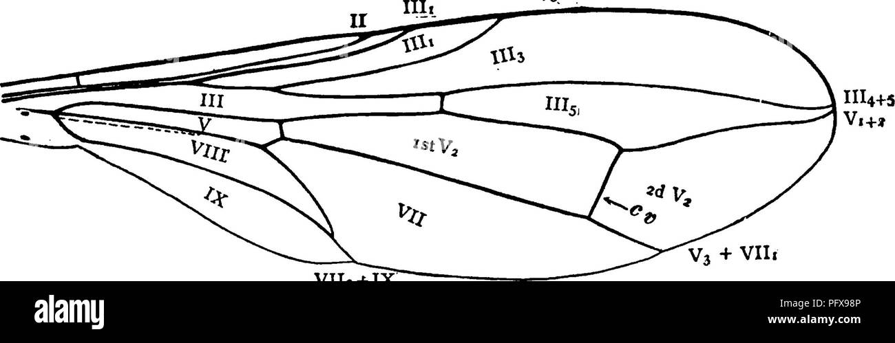 . A manual for the study of insects. Insects. Fig. 577.—Pipuji- cuius. The venation. V112-MX Fig. 578.—Wing of Pipunculus. the first branch of vein V approach each other at their tips. Vein V3 coalesces with vein VII, for nearly its entire length. Veins VII, and IX coalesce at their tips. Cells III and V are long. The flies hover in shady places. They are sometimes found on flowers, and may be swept from low plants; our most common species measure about one eighth of an inch in length, not including the wings. The larvae so far as known are parasitic upon bugs. * Bulletin of the U. S. National - Stock Image
