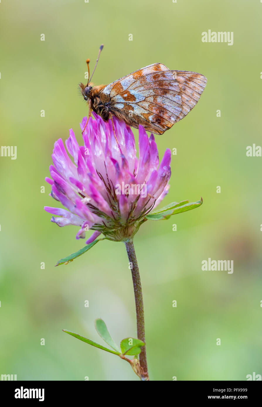 Marbled Fritillary (Brenthis daphne) Stock Photo
