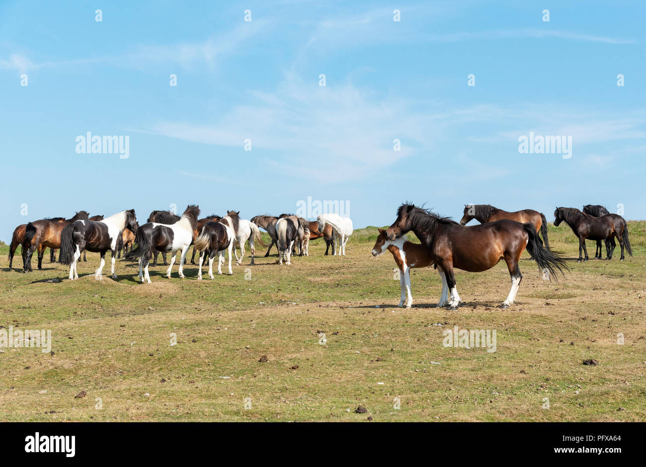 Ponies grazing on Dartmoor, Devon, UK - Stock Image