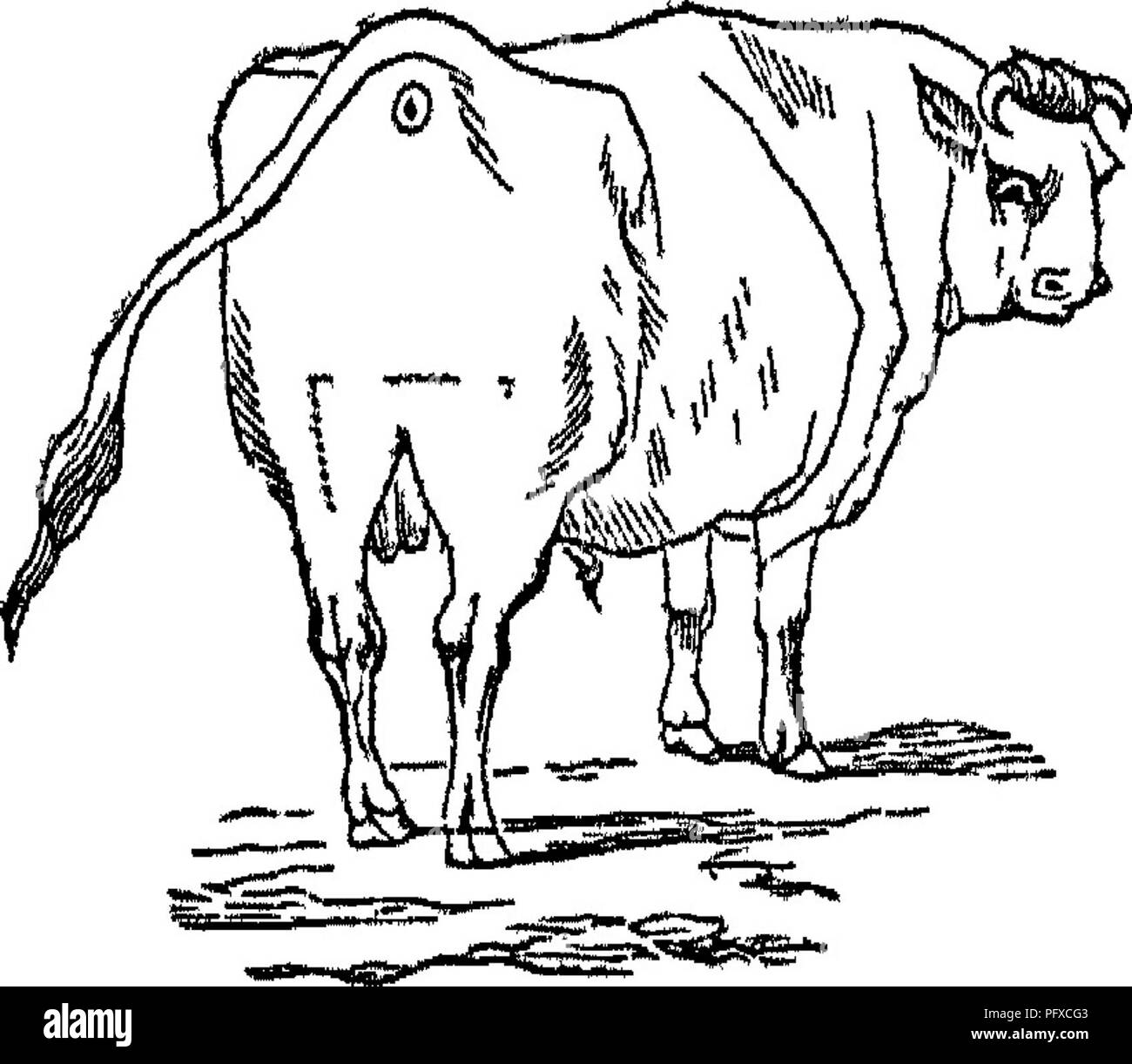 jersey cattle black and white stock photos images alamy Bull Horns Steers the jersey alderney and guernsey cow their history nature and management