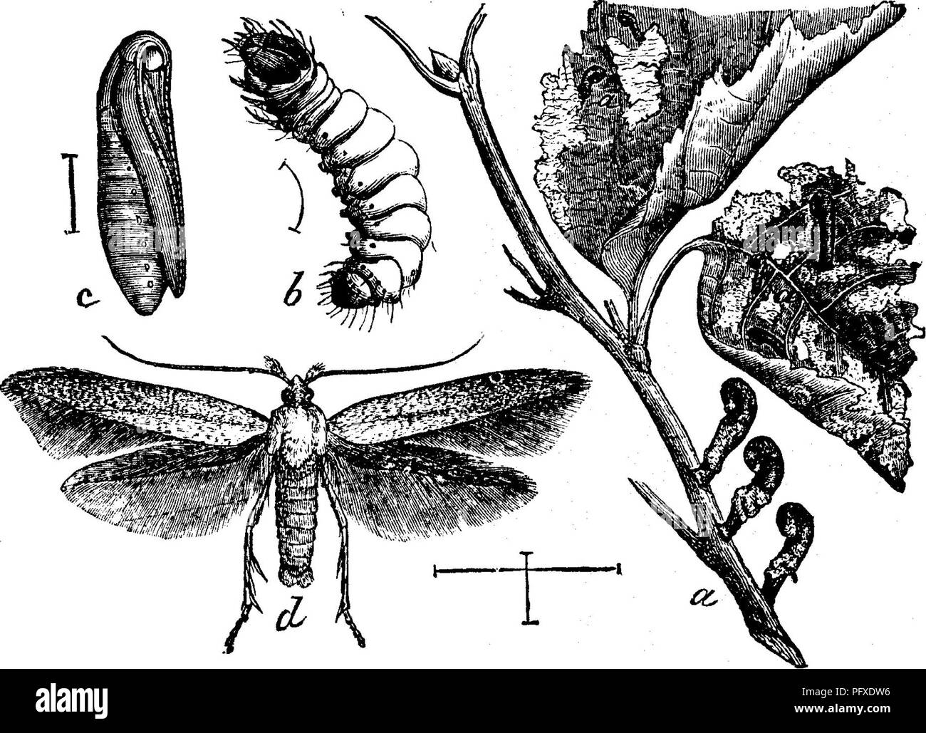 . Insects injurious to fruits. Illustrated with four hundred and forty wood-cuts. Insect pests. ATTACKING THE LEAVES. 115 fore wings are of a shining dark brown, suffused with a tinge of purple, and slightly dusted with dull-yellowish atoms. The hind wings are dark gray. This insect also mines the leaves of the wild crab-apple, different species of thorn, the blackberry, and the raspberry, but has never been known to do any material injury. No. 51.—The Apple-tree Case-bearer. Coleophora malivoj^ella Riley. With the opening of spring there will sometimes be found on the twigs of apple-trees cur - Stock Image