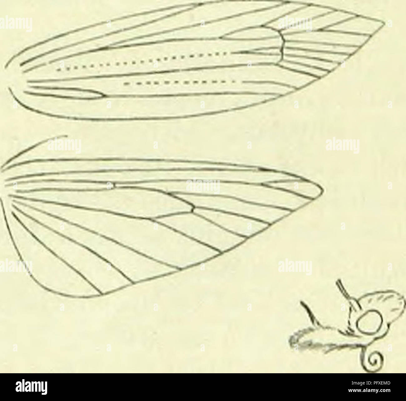 . A handbook of British lepidoptera. Lepidoptera. YI'ONOMKUTAl PLUTELLIDAE 697 Larva yellowish-grey ; spots black : on Sedum telephiwm ; 6, 7, 9, 10. 4. Orthotaelia, St/ph. Head with oppressed hairs. Antennae ;.', in <J serrate, shortly ciliated, basal joint without pecten. Labial palpi long, recurved, second joint with appresscd scales, terminal longer than second, acute. Maxillary palpi very short, filiform. Abdomen elongate. Forcwings: 7 and 8 separate, 8 to apex. Hindwings over 1, oblong-ovate, cilia ; 3 and 4 connate, 6 and 7 nearly parallel. Includes only the single species. Imago wi - Stock Image