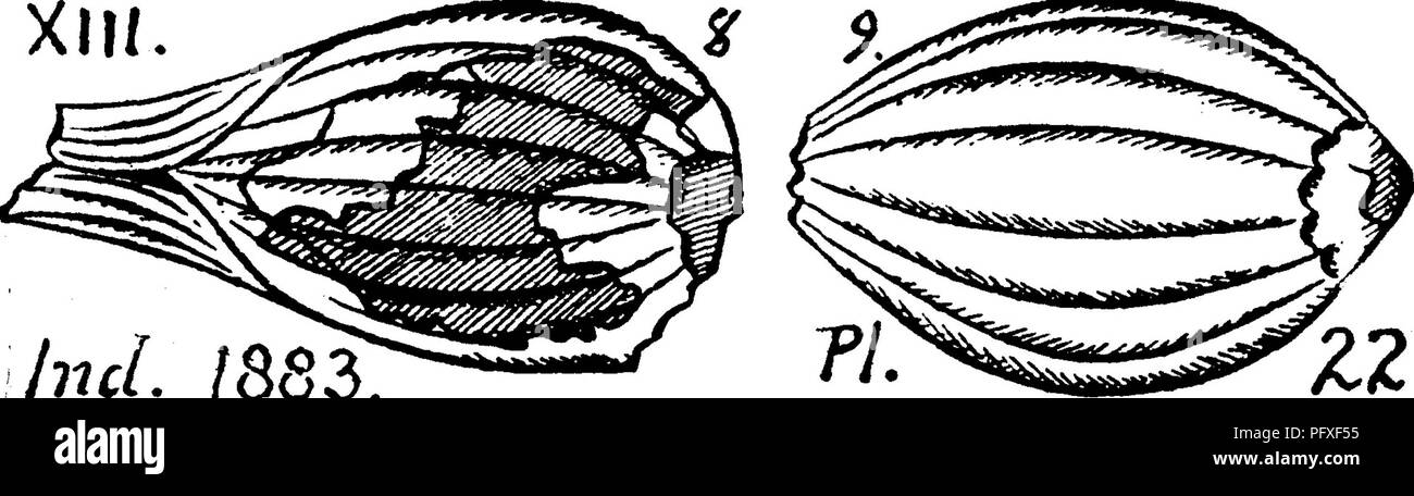 . A dictionary of the fossils of Pennsylvania and neighboring states named in the reports and catalogues of the survey ... Paleontology. 869 Rhab. Lower Productive Goal measures, XIII, Three specimens, C 5-9 of White's collection, 1 m. E. of Washington, from a shale over the Washington limestone,, of the highest bitumin- ous coal measures of S. W. Pennsylvania (000, p. 255), are doubtfully referred to this species. Rhabdocarpon ? minutum, Lesq. Geol. Arkansas, 11,313, pi. 5, f. 8, a. Found by Lesquereux in the shale under the Conglomerate at Pittston, Pa. (G. 7, 40.) XII. Rhabdocarpon multistr - Stock Image
