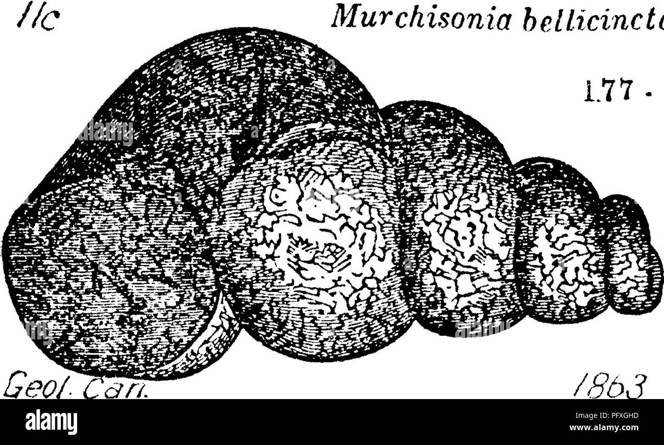 . A dictionary of the fossils of Pennsylvania and neighboring states named in the reports and catalogues of the survey ... Paleontology. 427 MURC. Murchisonia hdiicincta traversed lenghthwise with zigzag scratches, angulated at the the band.—lie, usually in casts, and common in the Trenton limestone in Jeff. Co., N. J. Emmons.—HIS. Hud. Riv. also. Hall.—A fig- /^^J ure is added, to show the size, from Owen's Geology of Wis. Iowa and Min. 1852, pi. 2,. Please note that these images are extracted from scanned page images that may have been digitally enhanced for readability - coloration and appe - Stock Image