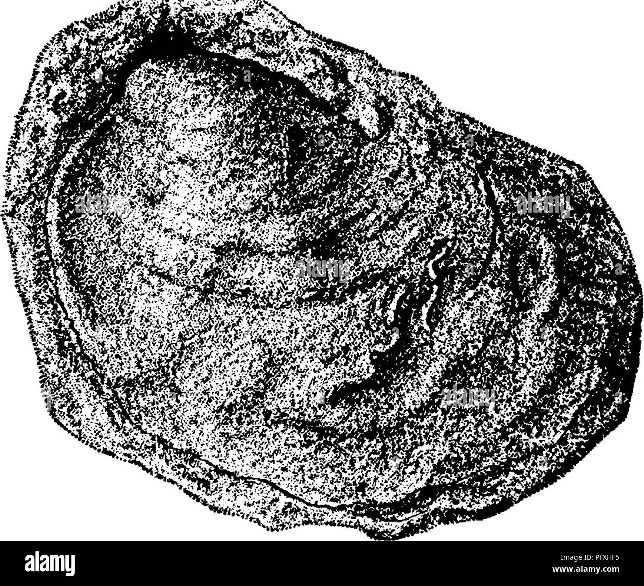 . A dictionary of the fossils of Pennsylvania and neighboring states named in the reports and catalogues of the survey ... Paleontology. 263 Gram. â â â¢Vw-^ Grammysia ? in vast numbers in spots in the Orishany Sand Ridge at Mapleton, Huntingdon Co. and elsewhere. (T3, p. 119, 274.)âF//. Grammysia ? numerous in Hamilton middle sandstone, in Huntingdon Co. (T, p. 32), and Hamilton upper sandstone at the end of Jack's mountain, (T3, 111); and also in Pike and Monroe Cos. (G6, 230) as at MarshalFs falls.âF//7c. Gramm^ysia ? in the middle layers of the Trough Creek limestone^ Huntingdon Co., Pa.,  - Stock Image