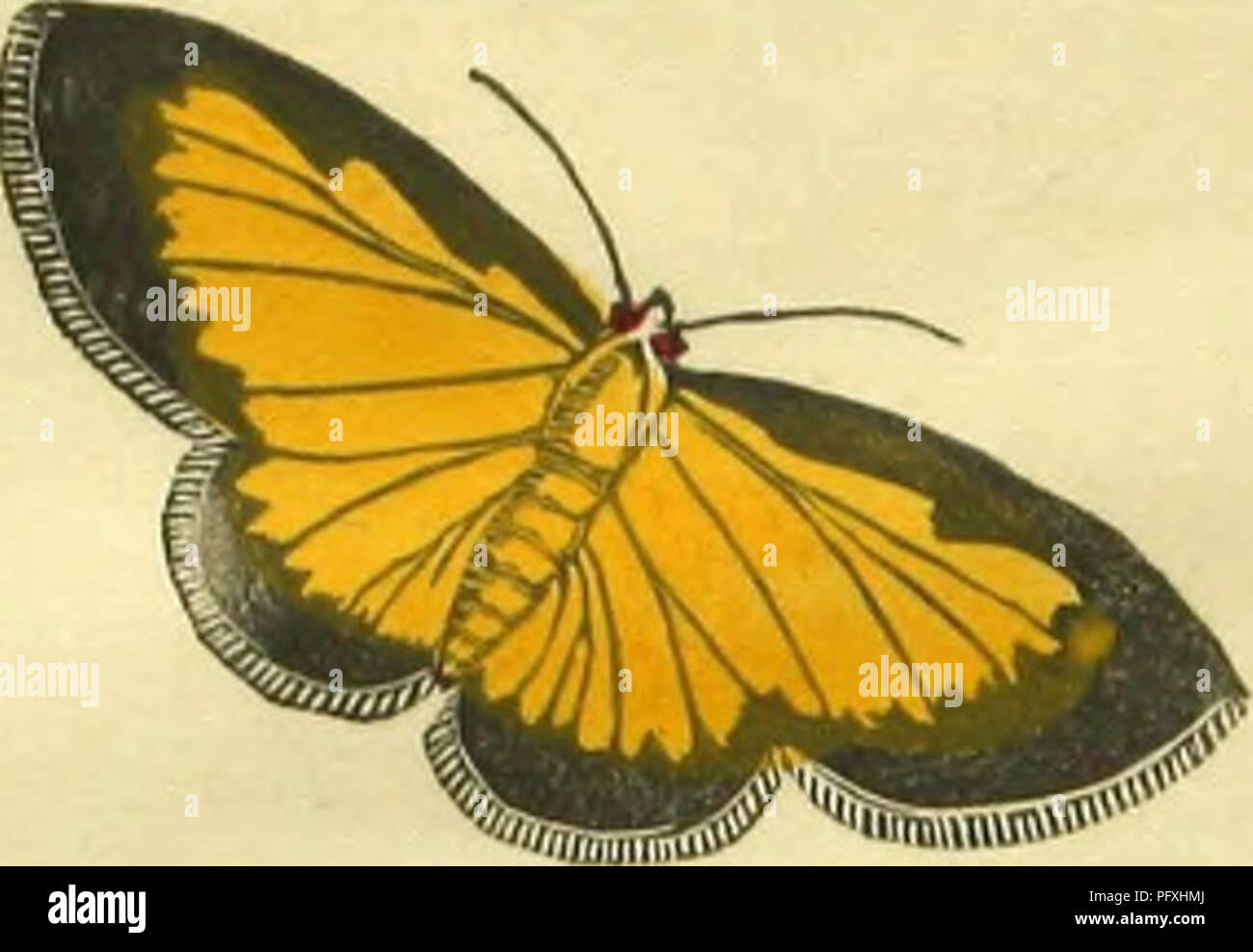 . The book of butterflies, sphinges, and moths; illustrated by one hundred and forty-four engravings, coloured after nature. Lepidoptera. THE GOLDEN YRLLOW MOTH. 1'halana Flaviolata India.. Please note that these images are extracted from scanned page images that may have been digitally enhanced for readability - coloration and appearance of these illustrations may not perfectly resemble the original work.. Brown, Thomas, 1785-1862. London, Whittaker & Co. ; [etc. ,etc. ] - Stock Image