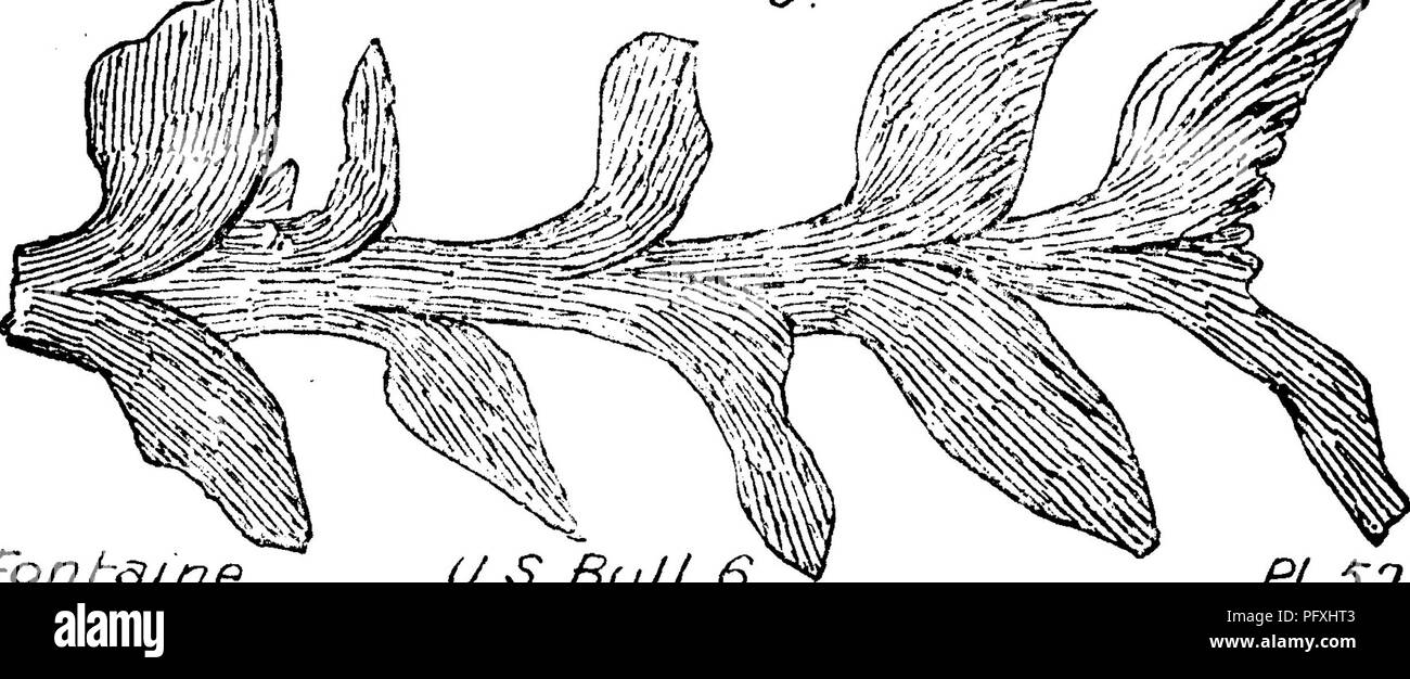 . A dictionary of the fossils of Pennsylvania and neighboring states named in the reports and catalogues of the survey ... Paleontology. G.S,U.S.v1^ 24.. Fonh^me U.S. Bull. 6 PJ.S2 Otozamites brevifolius, Fr. Brogniart, Newberry's Mon. ograph on 7f 1^5. ... .£s%^ SsM£MMAm.m^ Q T r i a s sic plants and fishes in the U. S. G. Sur* vey, Vol- 14, 1888, page 91, plate 24, fig. 3, from Durham, Conn., brown sandstone quarries.—Trias. Otozamites caroliniensis, {Alhertia latifolia^ Emmons, '^^^<^^ ^ 6 .<.^^- /^ Amer. Geol. page 126, fig. 95.) Fontaine, U. S Geolog. Survey, Bulle- tin No. 6, page Stock Photo