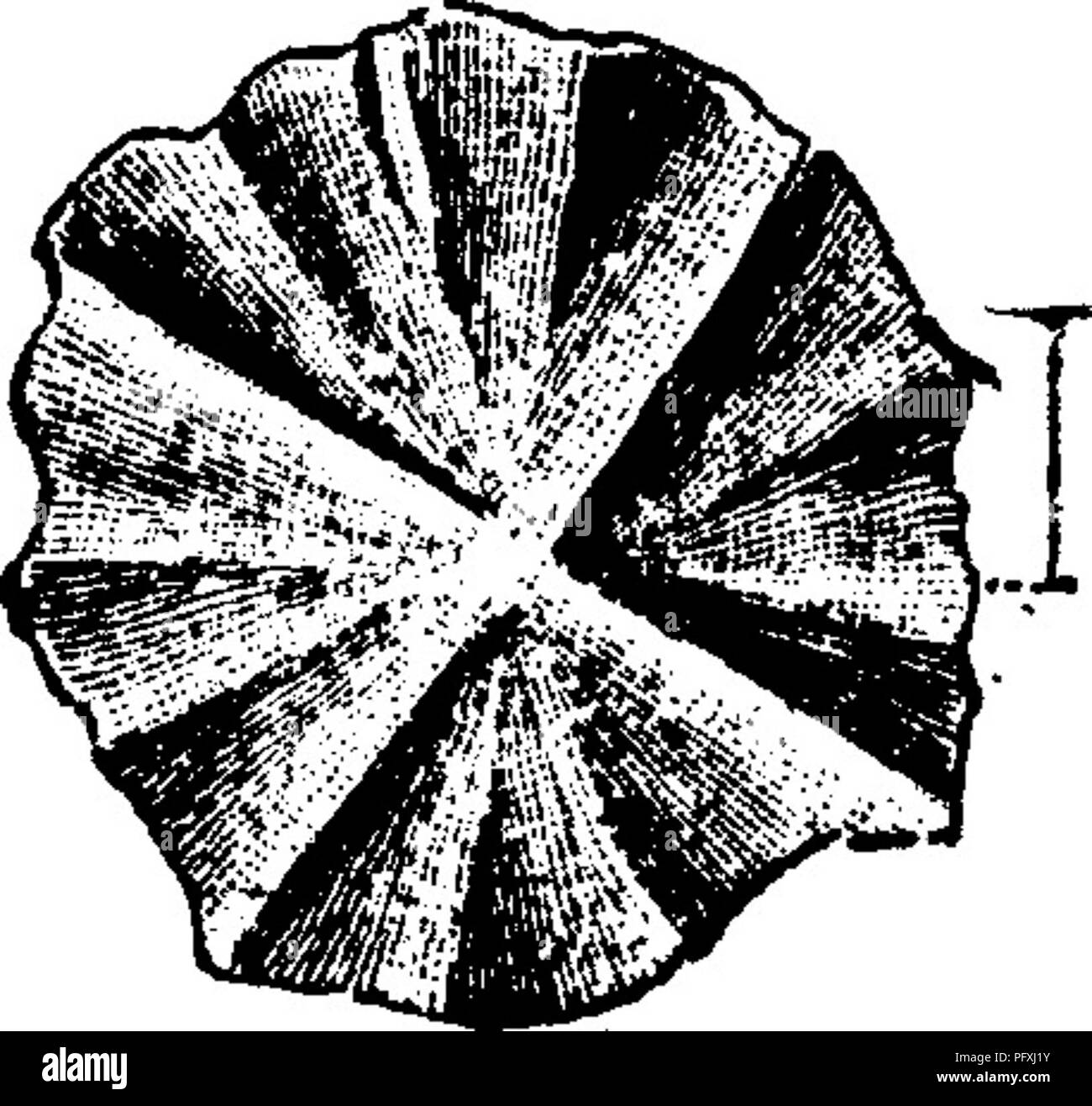 . A dictionary of the fossils of Pennsylvania and neighboring states named in the reports and catalogues of the survey ... Paleontology. Entolium aviculatum. {Pecten aviculatus^ Swallow, Xin-i5Sfe*rf^ /^^S^ fi' Trans. Acad. Sc. St. Louis, 1858 ;—Meek, Nebraska U. S. Survey, 1872, plate 9.) Col- lett's Indiana Rt. of 1882, page 142, plate 28, fig. 7, s-vw^ieeaxa-jj^/ natural size^loii valve; fig. Ij^^^^^^i^lg^p -^is^^^jjjg[^^^i^j  g^ inside of left valve, show- ing hinge, etc., many parts of Indiana and elsewhere, Goal measures^ XIII-XV. Eocystites primsevus. (Billings, 1868. Dawson's Acad. t C - Stock Image