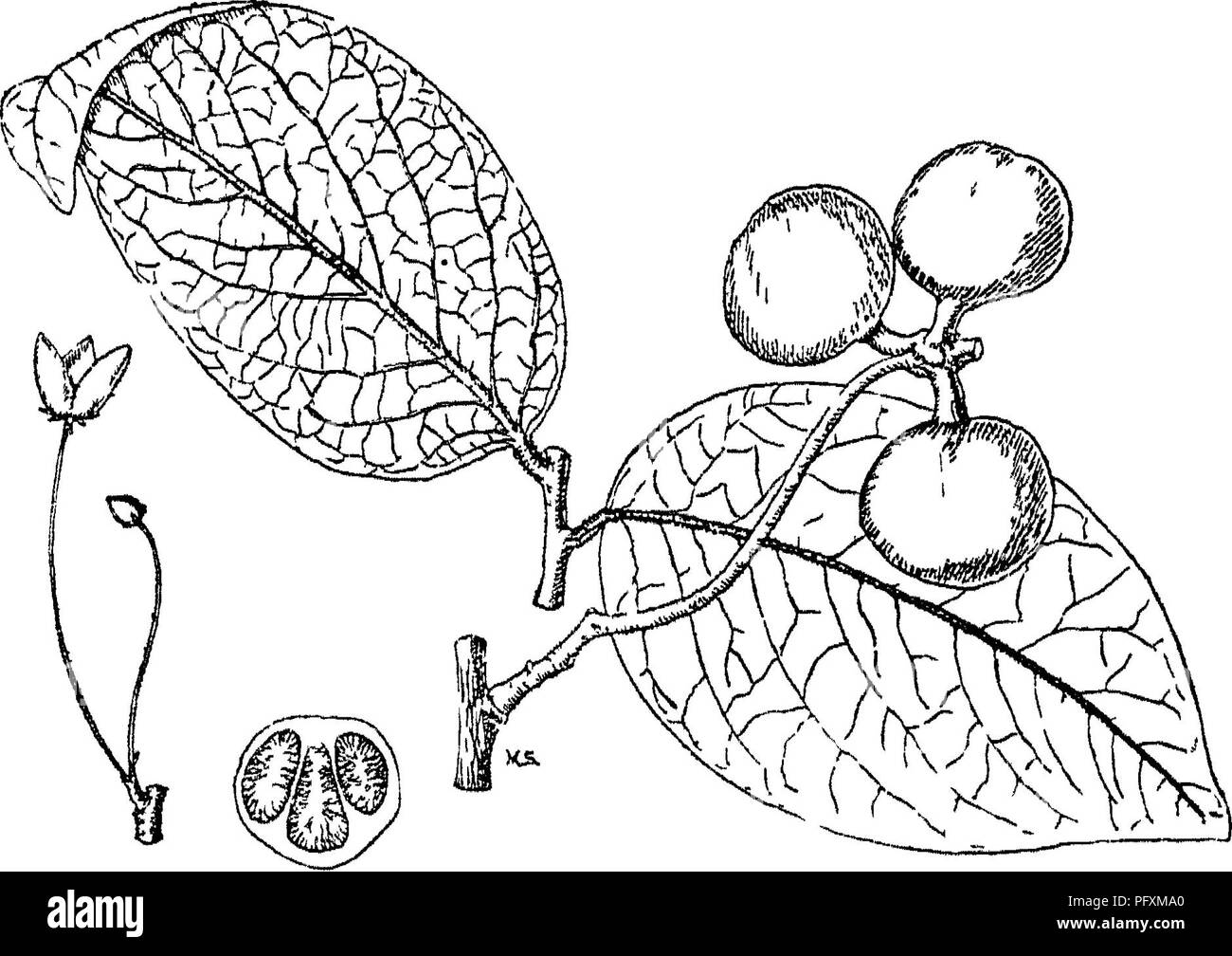. Indian trees : an account of trees, shrubs, woody climbers, bamboos, and palms indigenous or commonly cultivated in the British Indian Empire. Trees. Saccopetaliim] IV. ANONACE^. 1. S. tomentosum, Hook. f. & Thorns.; Bedd. Fl. Sylv. t. 30 ; Ic. PL Ind Or. t. 49; Ann. iv. t. 207.âSyn. Uvarla tomentosa, Uoxb. Cor. PI. t. 35. Vern. Kari^ UnibL Ildni. , Hin- Gonda CJriya; dudu.. di, Mar. South ; ]}cdaso^ Ch ilka â Tel.; Hessare^ Kan. A large tree, branchletstomen- to&e. Pull grown leaves glabrous, excepting midrib, 3-6 in. long, ovate oblong. PI. soli- tary or in pairs, pedicels hairy, v - Stock Image