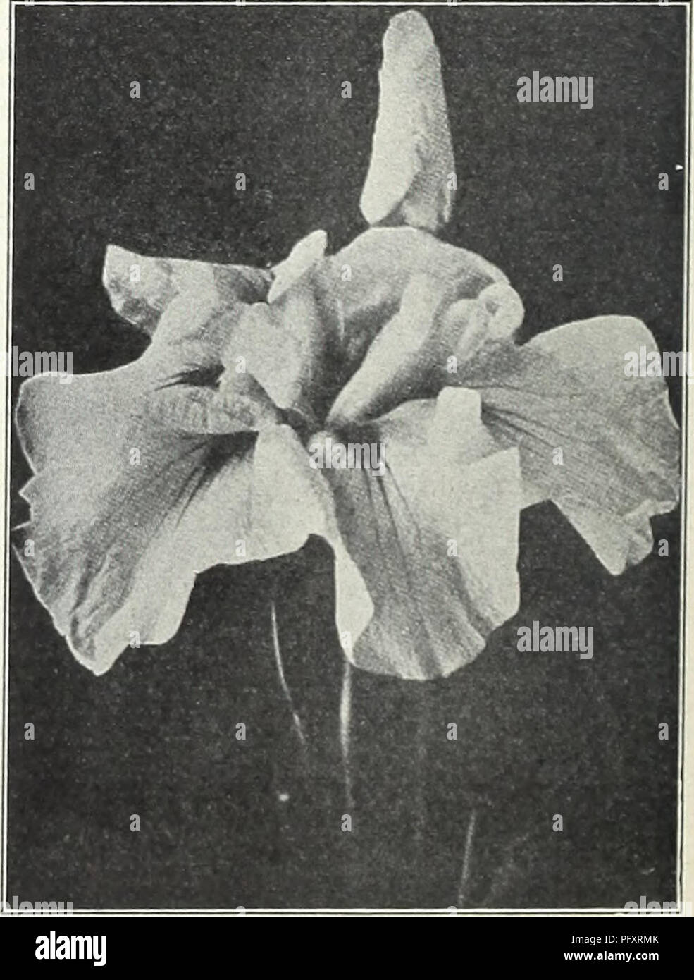 . Currie's garden annual : spring 1934 59th year. Flowers Seeds Catalogs; Bulbs (Plants) Seeds Catalogs; Vegetables Seeds Catalogs; Nurseries (Horticulture) Catalogs; Plants, Ornamental Catalogs; Gardening Equipment and supplies Catalogs. CURRIE'S SUPERB HOLLYHOCKS Currie's Superb Hollyhocks GERMAN IRIS ed from named varieties of every known shade of color, and can be June or July will produce plants for blooming the next summer. NEW HOLLYHOCKS TRIUMPH—This new variety brings out an entirely distinct strain growing 4 to 5 feet high and is of a branching habit, all the stems being studded with  - Stock Image