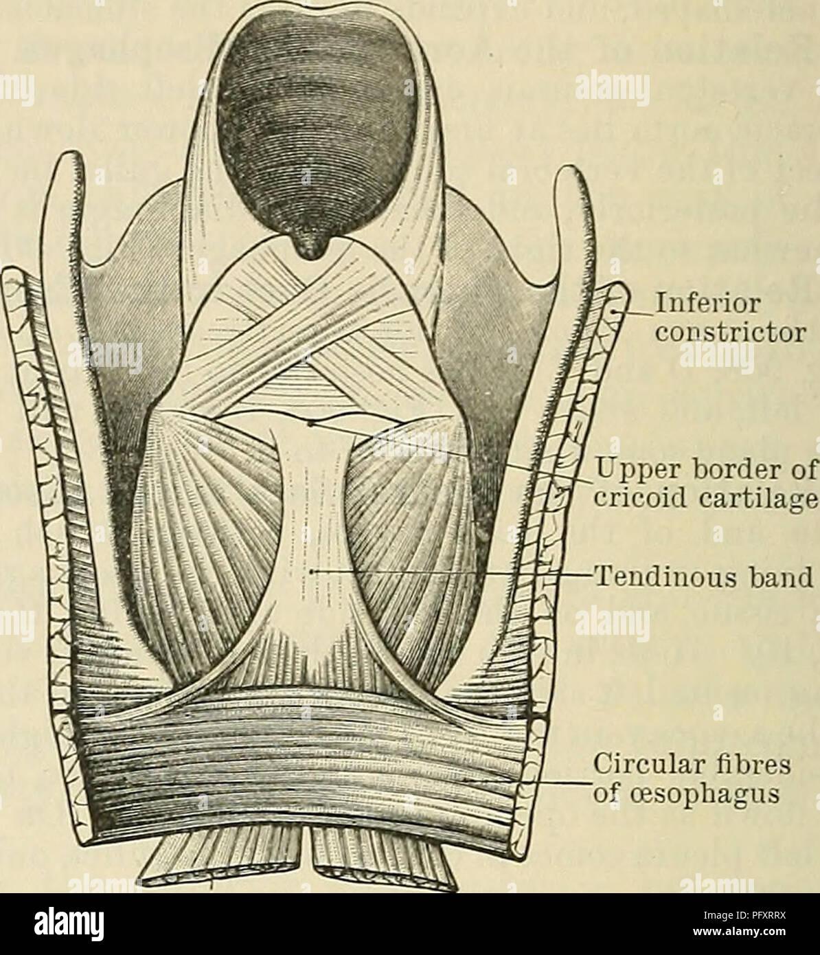 Cunningham\'s Text-book of anatomy. Anatomy. Longitudinal fibres ...