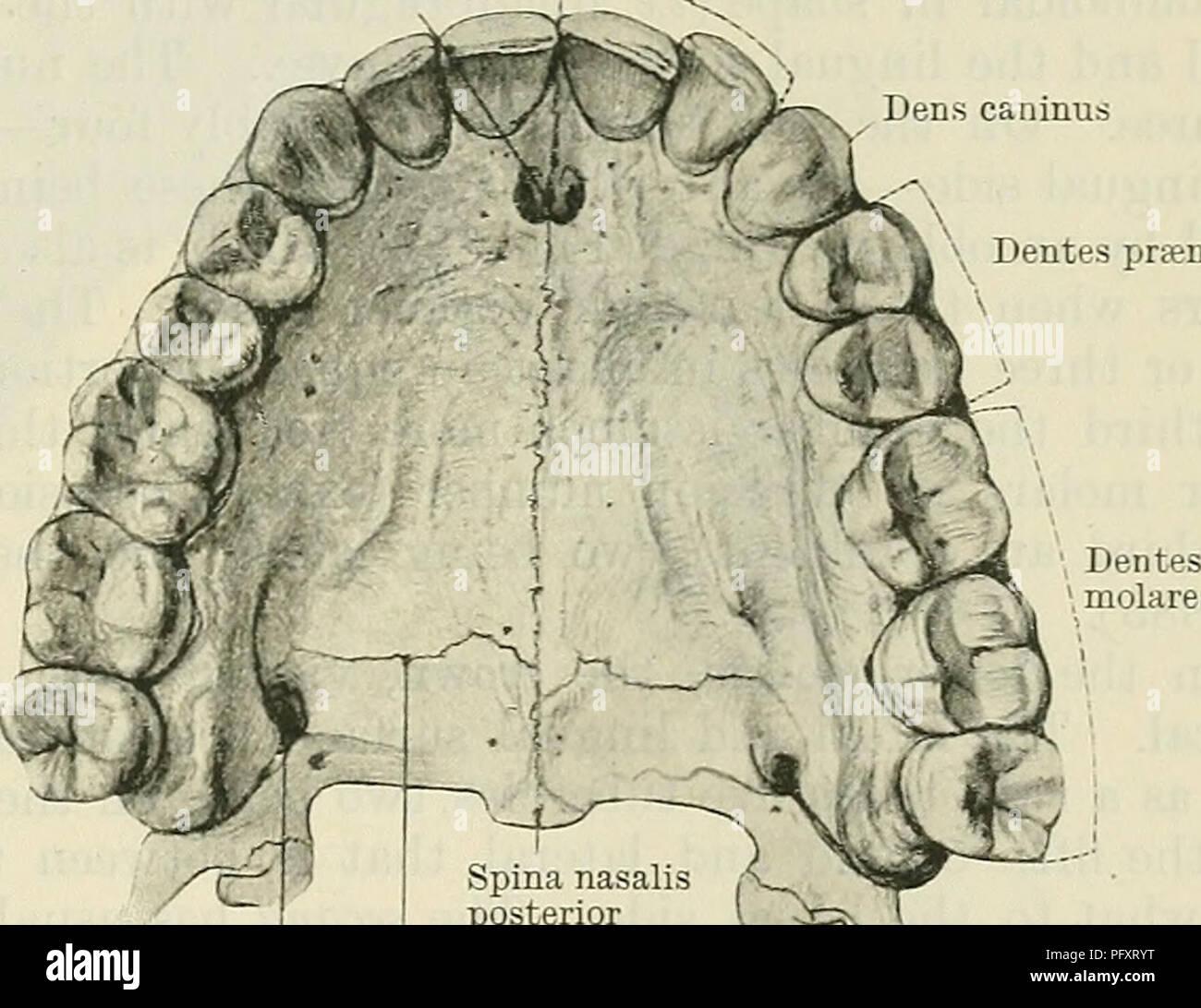Cunninghams Text Book Of Anatomy Anatomy Peemaxext Teeth 1117