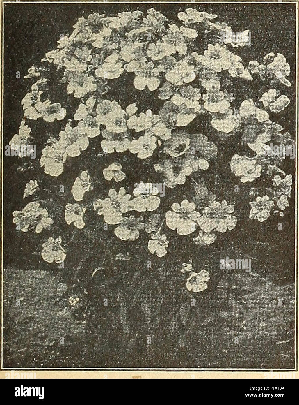 . Currie's farm and garden annual : spring 1926. Flowers Seeds Catalogs; Bulbs (Plants) Seeds Catalogs; Vegetables Seeds Catalogs; Nurseries (Horticulture) Catalogs; Plants, Ornamental Catalogs; Gardening Equipment and supplies Catalogs. Tall Variegated Leaved Nasturtium—Fine mixed. Pkt. 10; oz. 15c; Dwarf Variegated Leaved Nasturtium—Fine mixed. Pkt. 10c; oz. 15c; ^ lb. 50c, y^, lb. 50c. IVY LEAVED NASTURTIUM. A striking class, bearing profusely star-like flo^wers of various shades of yellow, orange, scarlet, etc., all beautifully cut and fringed. The foliage is dark green, veined white, and  - Stock Image