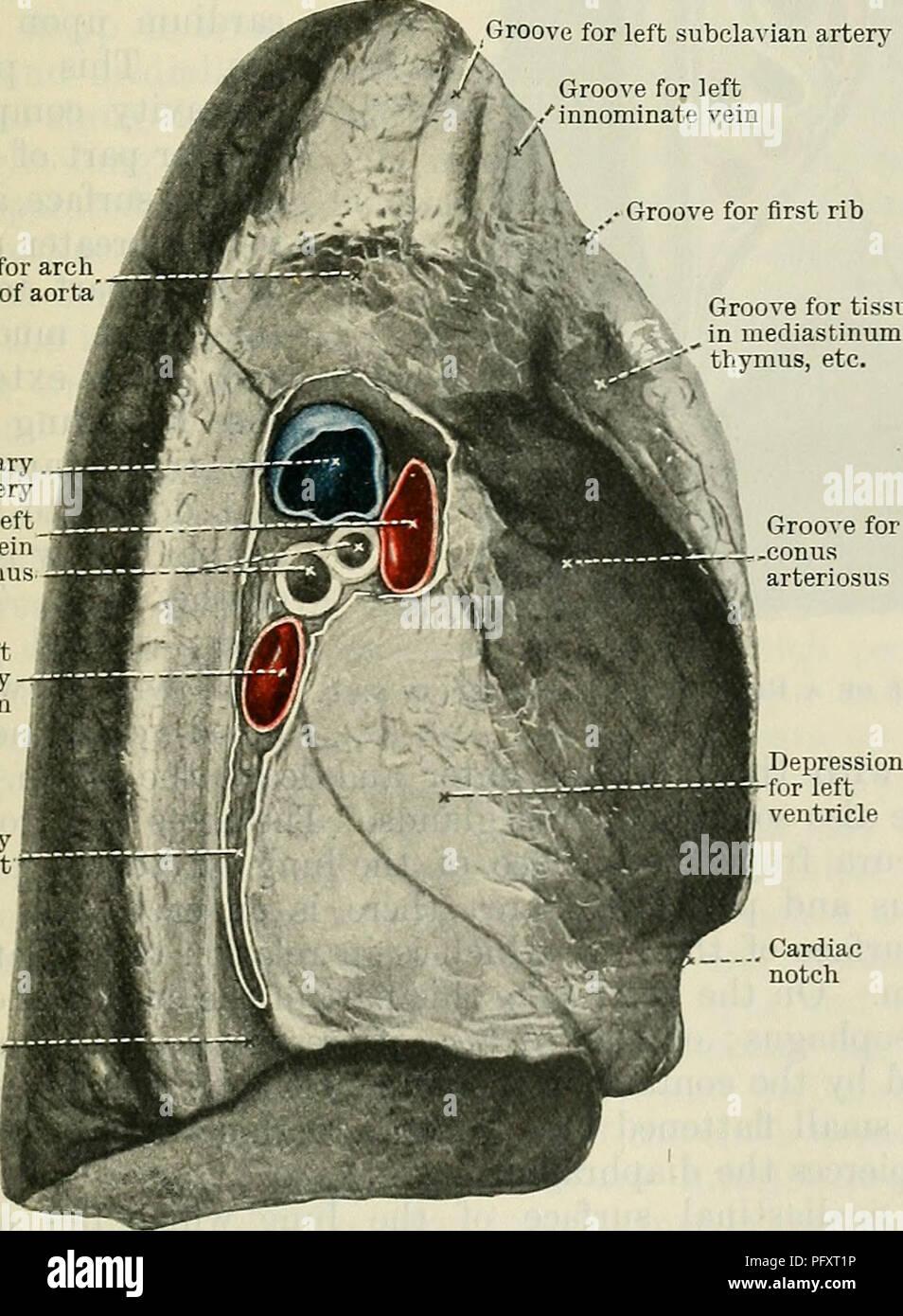 Cunningham\'s Text-book of anatomy. Anatomy. Lower lobe Cardiac notch ...