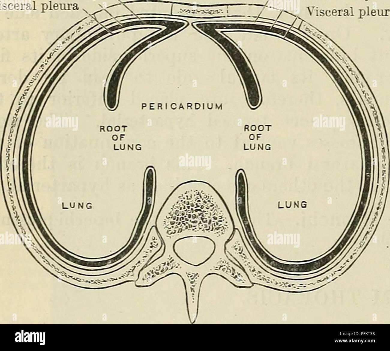 Pleural Cavity Stock Photos & Pleural Cavity Stock Images - Alamy
