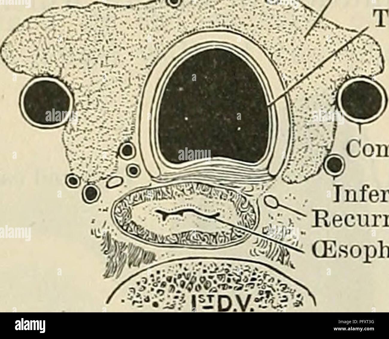 Cunningham\'s Text-book of anatomy. Anatomy. 1080 THE EESPIEATOEY ...