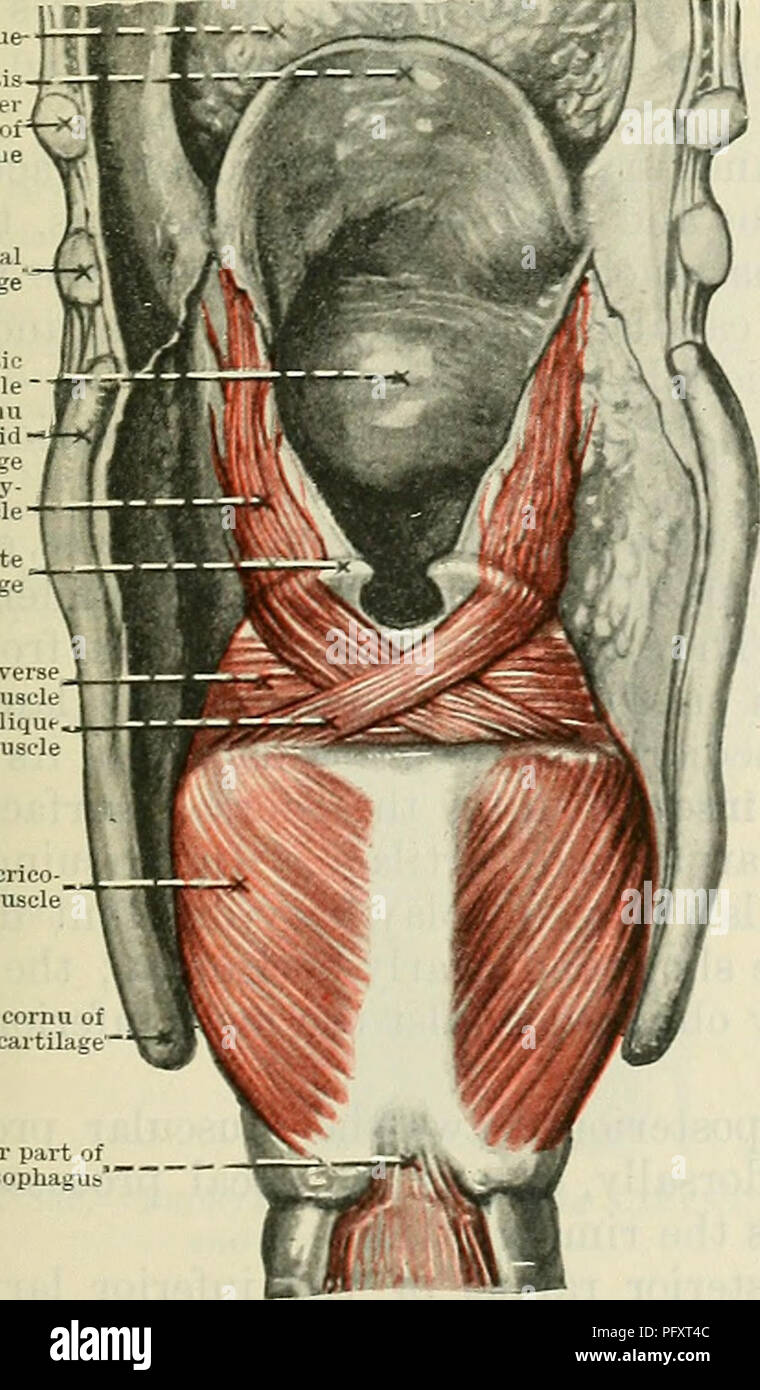 Cunningham\'s Text-book of anatomy. Anatomy. LAKYNGEAL MUSCLES. 1073 ...